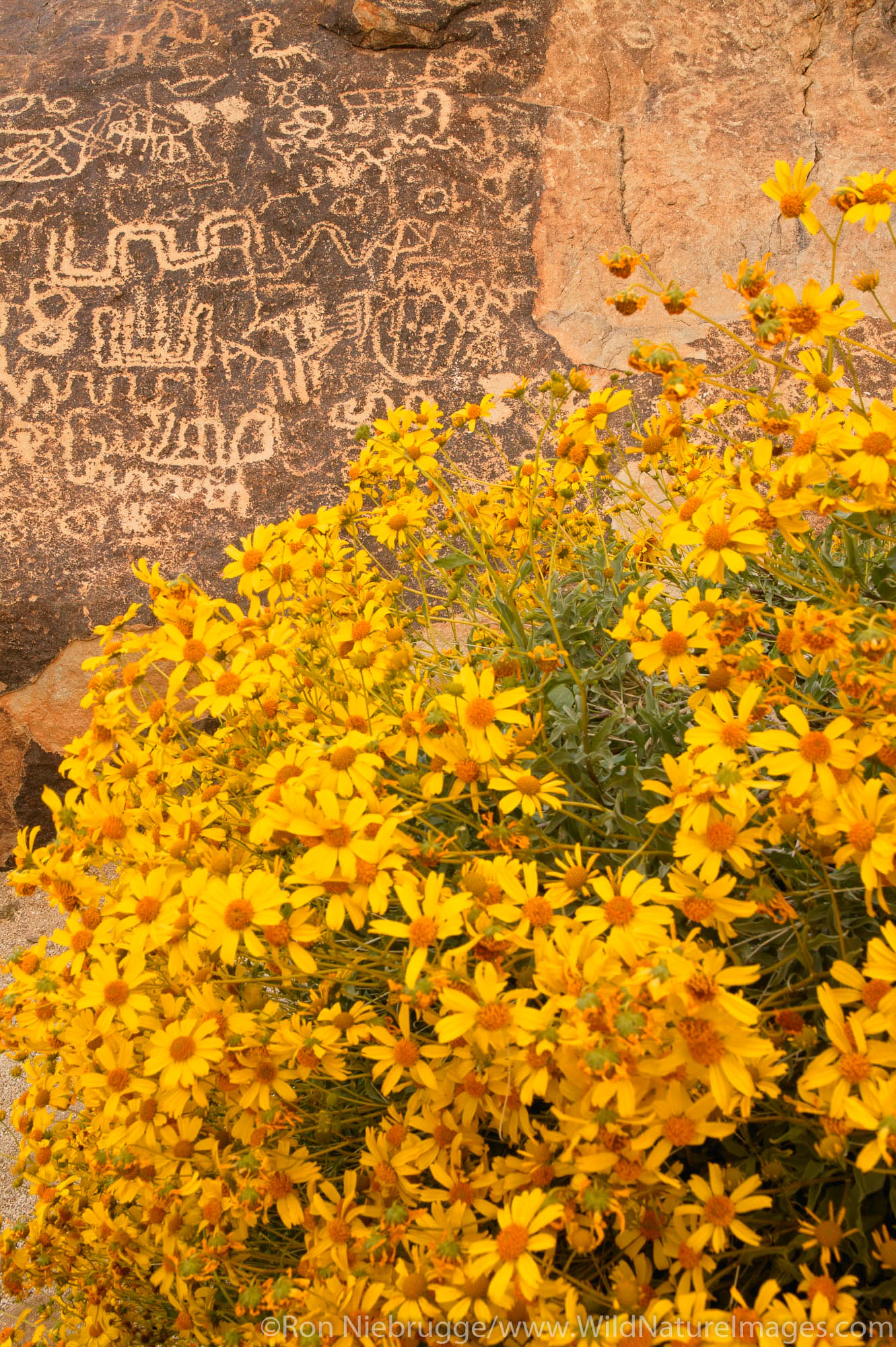 Brittlebush and Petroglyphs in Grapevine Canyon of the Newberry Mountains, along Christmas Tree Pass Road Lake Mead Recreation...