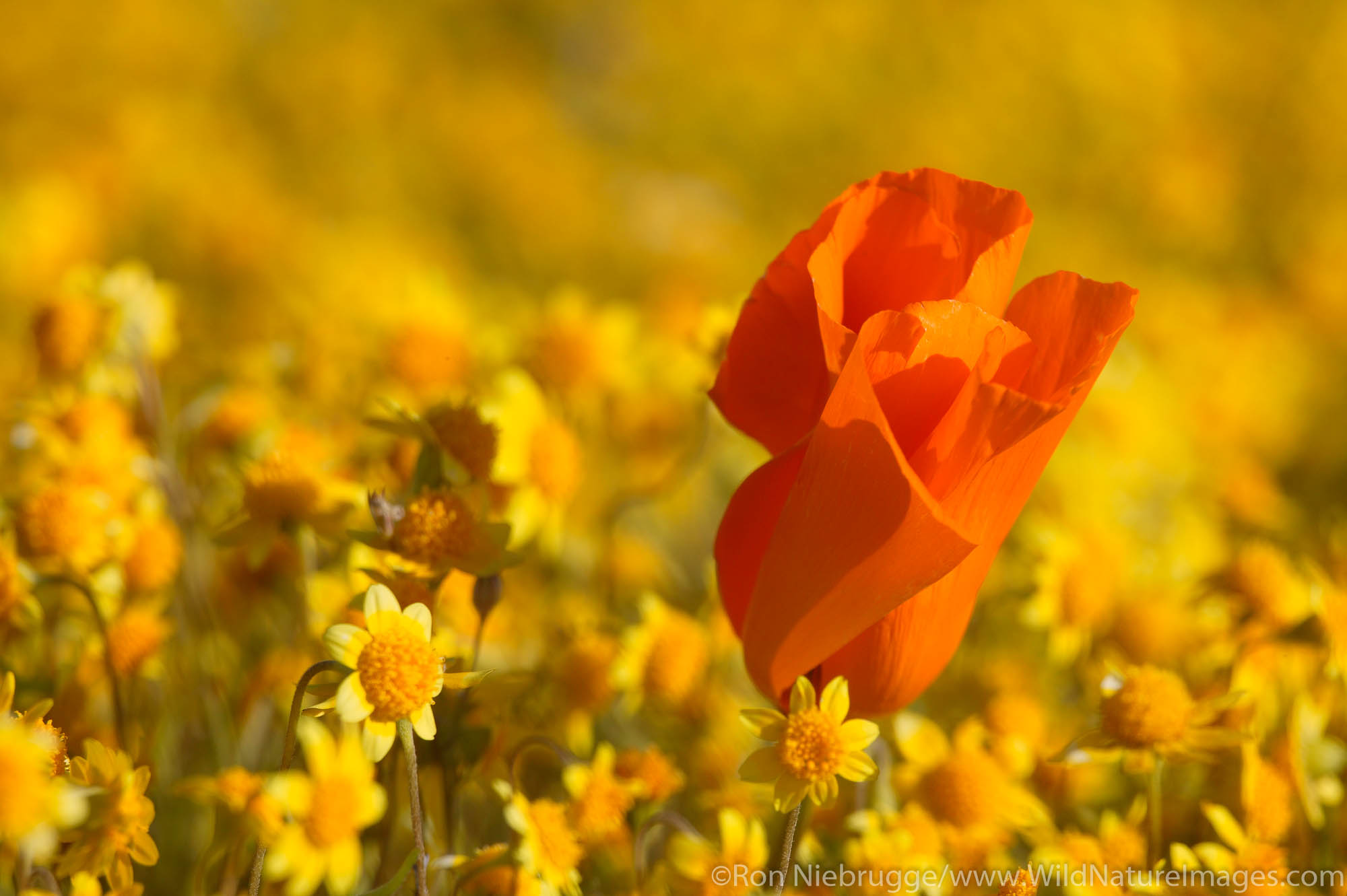 Carpets of Goldfields (Lasthenia californica) and California Poppies (Eschscholzia californica) Antelope Valley near Lancaster...