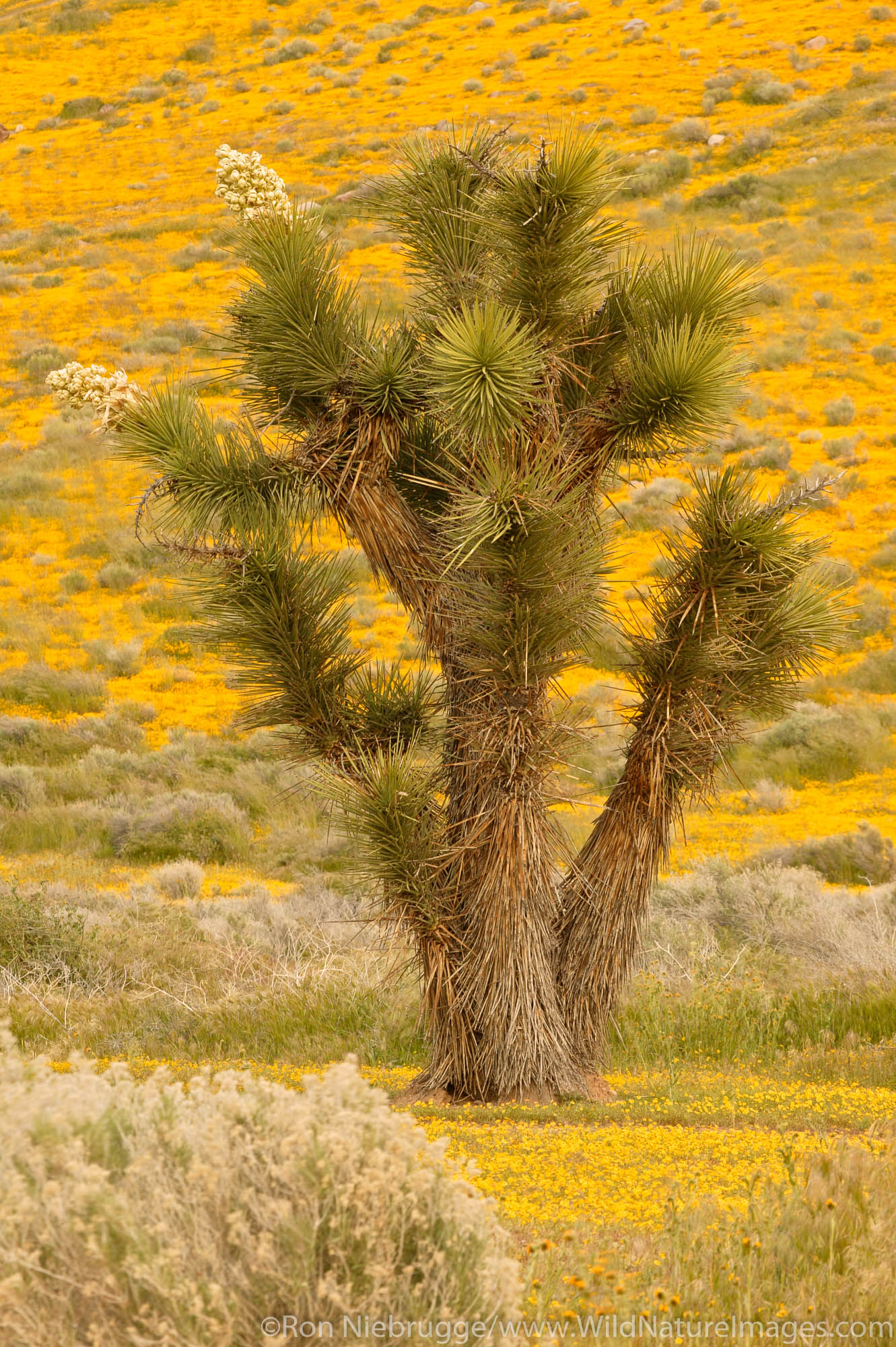 Joshua Trees ( Yucca brevifolia ) and carpets of goldfields (Lasthenia californica) Antelope Valley near Lancaster, California...