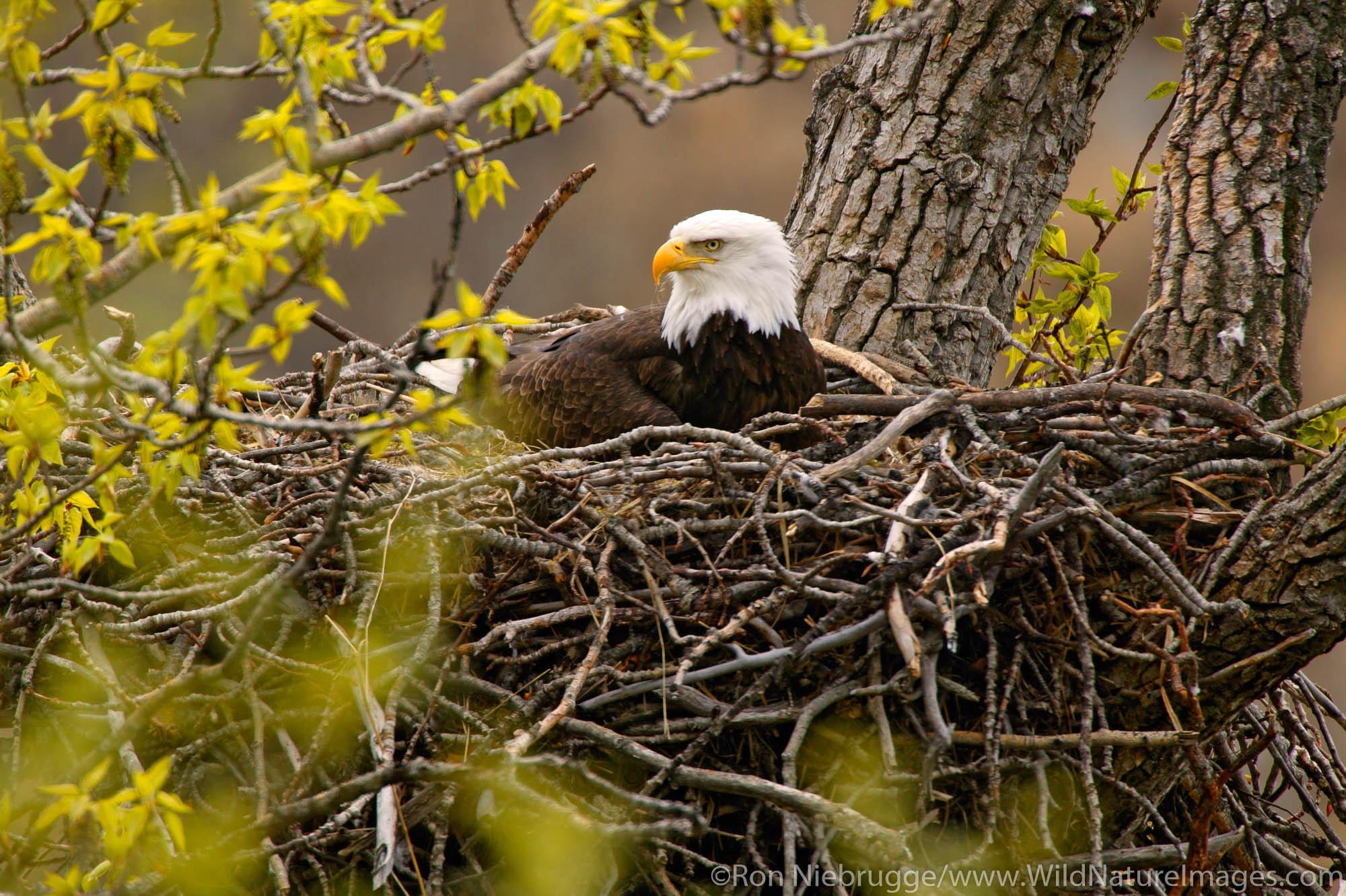 Bald Eagles nesting, Anchorage, Alaska.