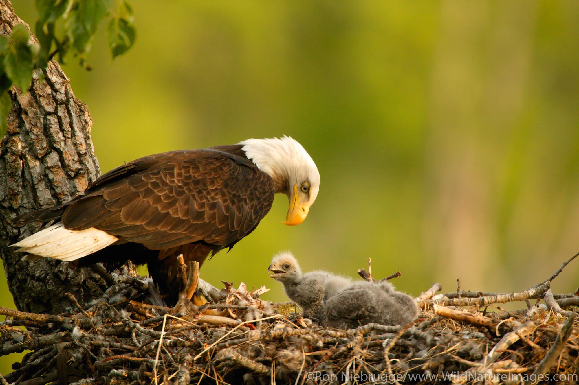 Nesting Bald Eagle, Anchorage, Alaska.