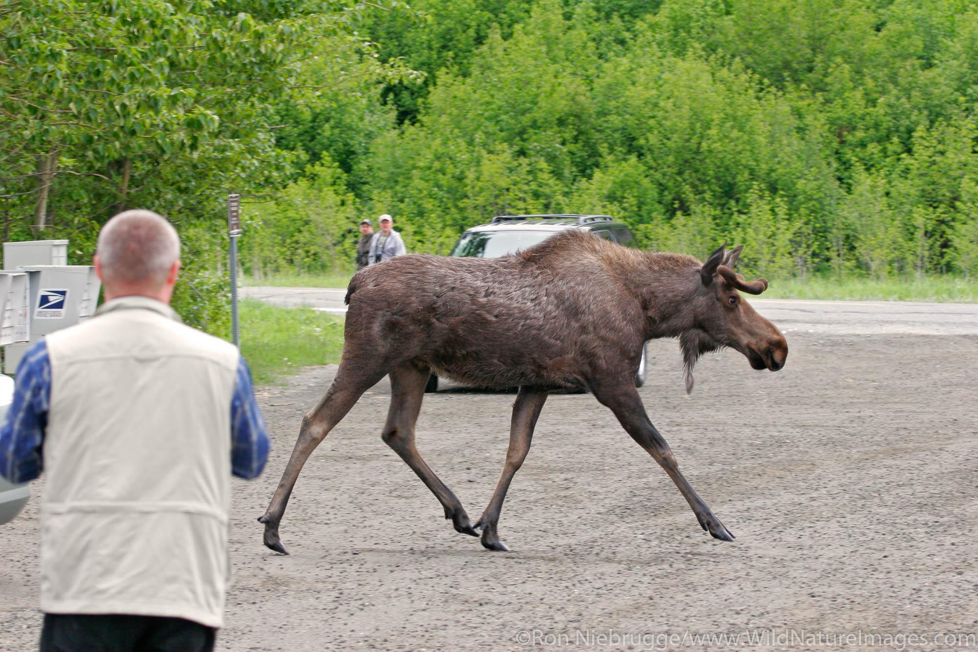 A small bull moose at Potter's Marsh, Anchorage, Alaska.