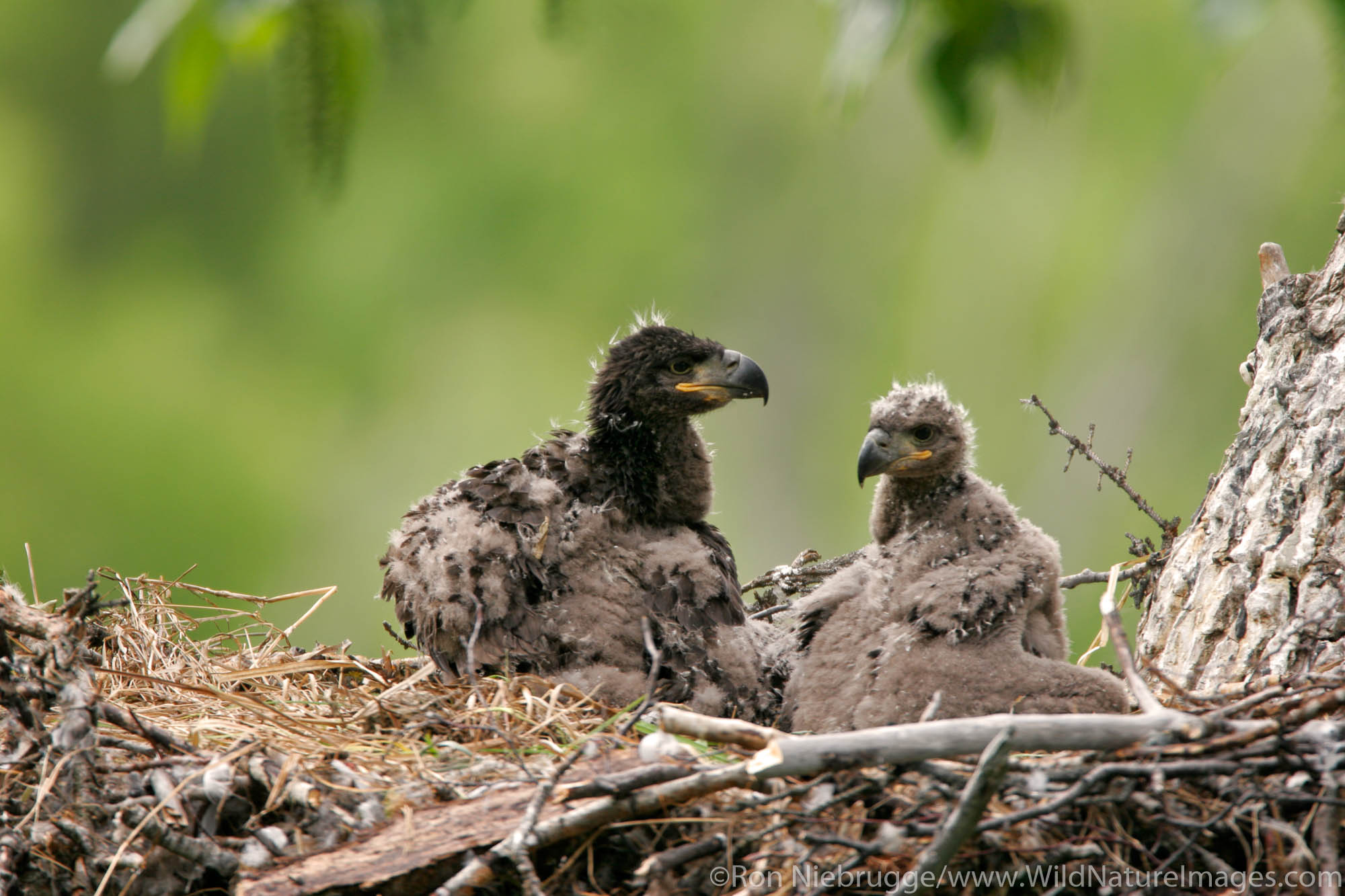 Nesting Bald Eagle chicks at about one month old, Anchorage, Alaska.