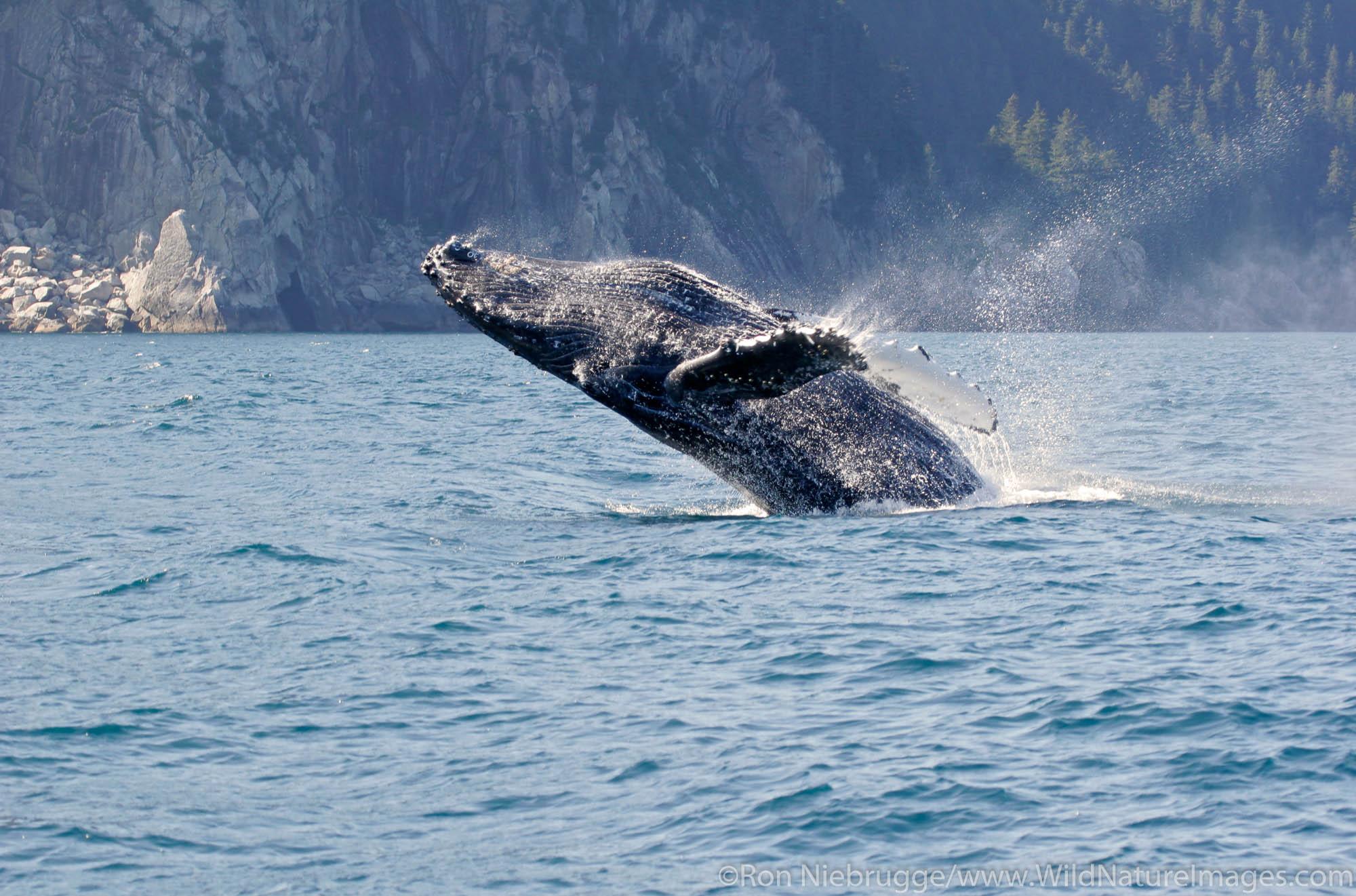 A humpback whale (Magaptera novaeangliae) near Aialik Cape, Kenai Fjords National Park, Alaska.