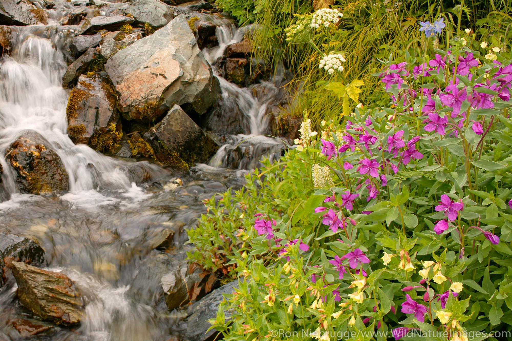 Kenai Fjords National Park, Alaska, wildflowers , photo