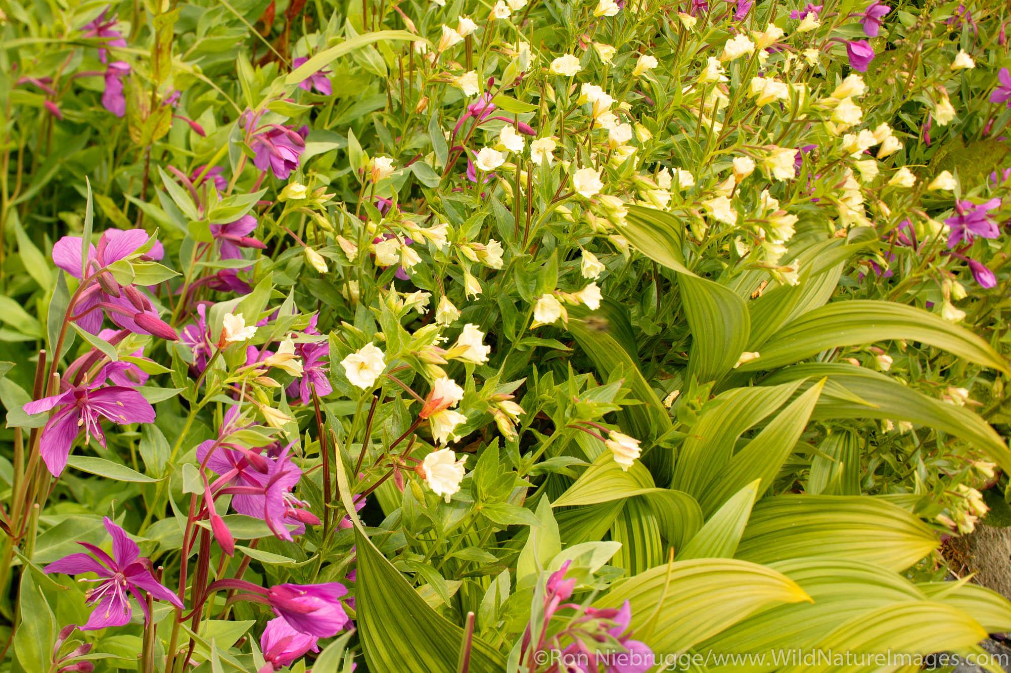 Wildflowers along the Harding Icefield trail, Kenai Fjords National Park, near Seward, Alaska.