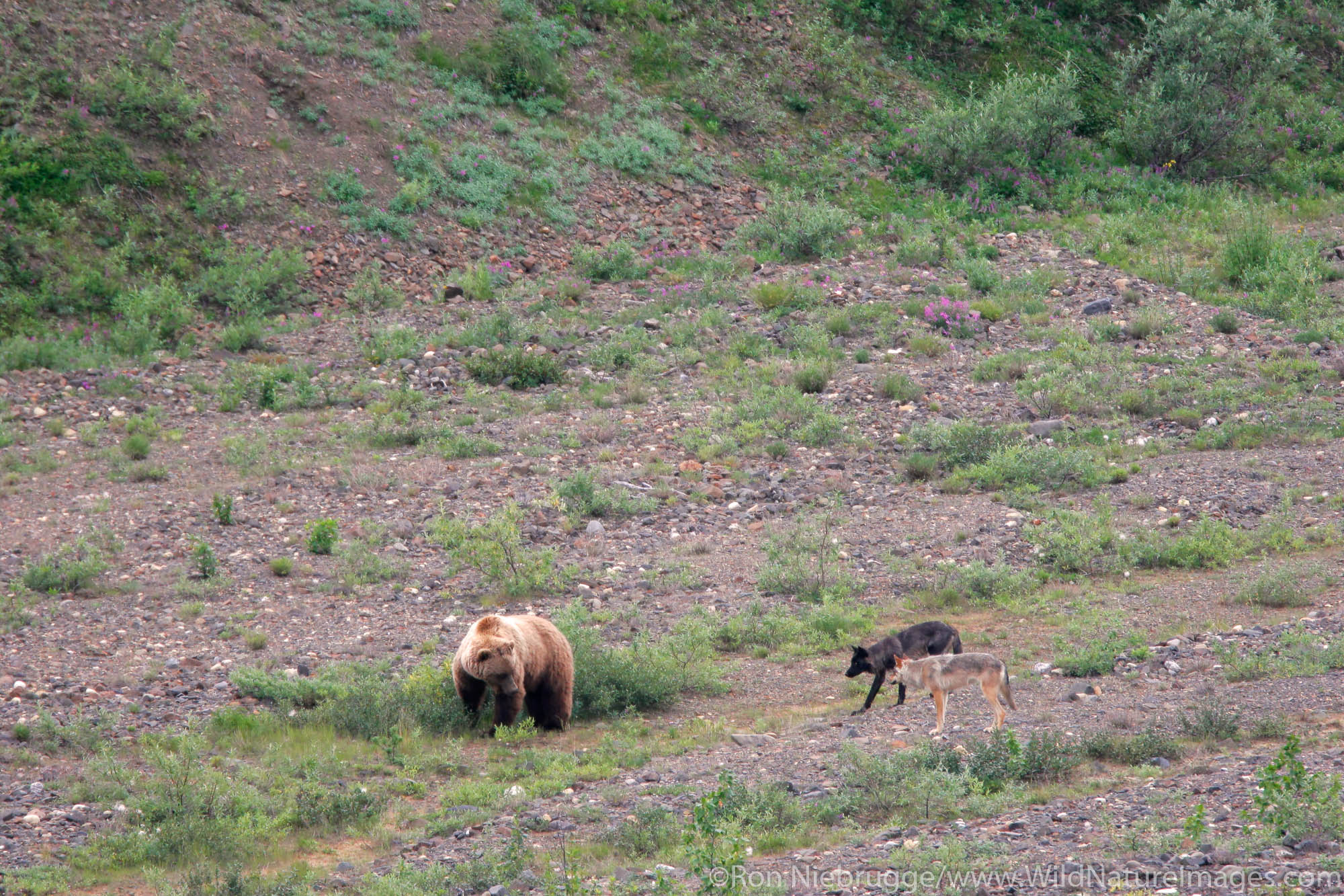 Wild wolves from the Grant Creek Pack and a grizzly bear, Denali National Park, Alaska.
