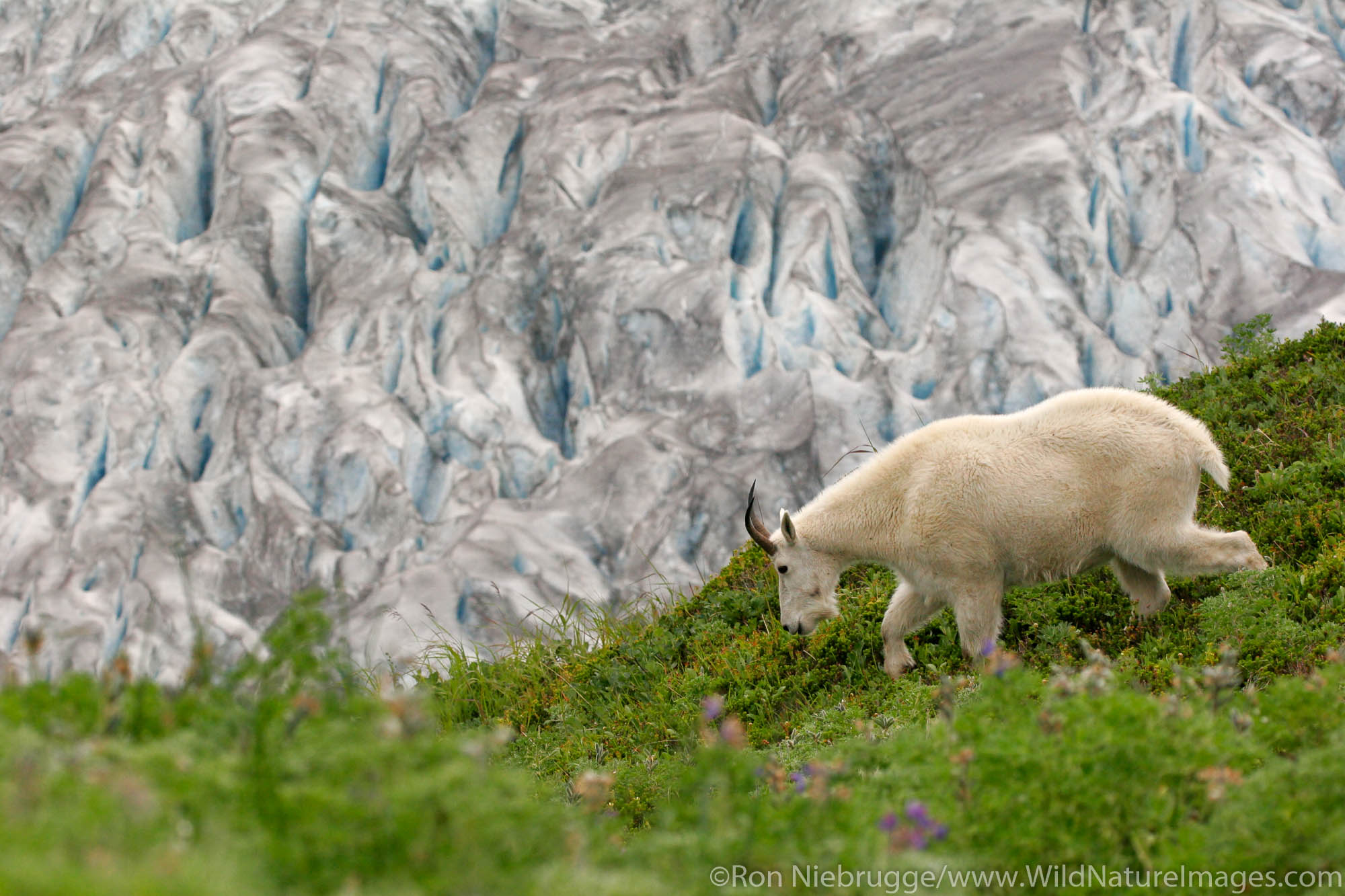 Kenai Fjords National Park, Alaska, Mountain Goat, photo