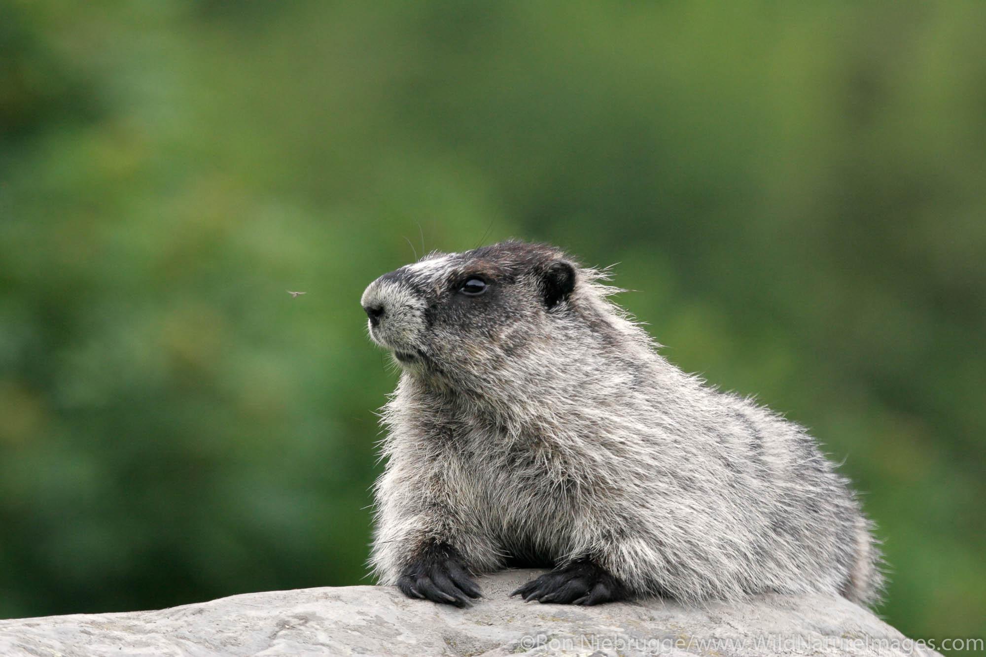 hoary marmot (Marmota caligata) along the Harding Icefield trail, near Exit Glacier, Kenai Fjords National Park, Alaska.