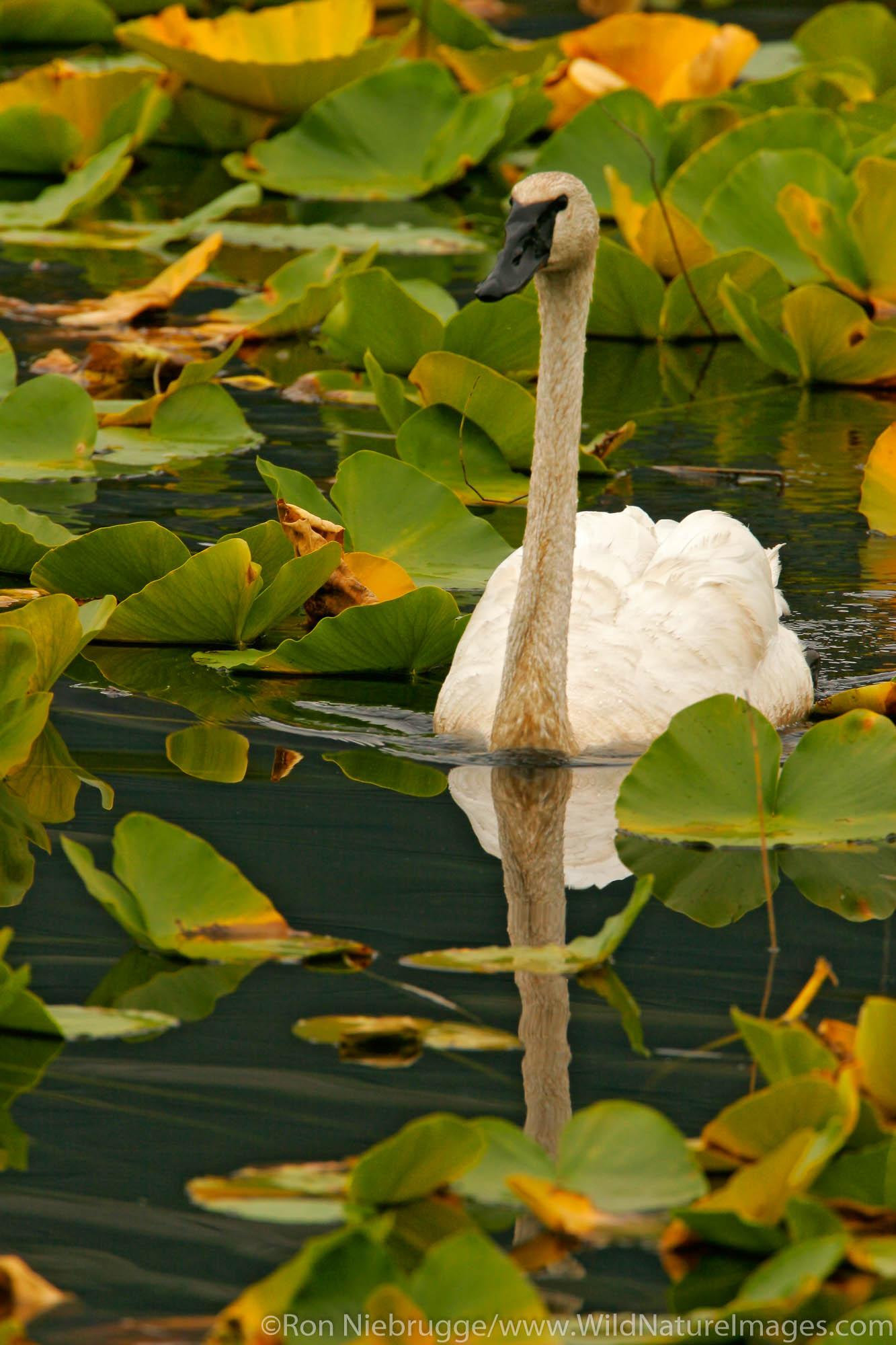 Swan in lily pads along the Seward Highway, Chugach National Forest, near Seward, Alaska.