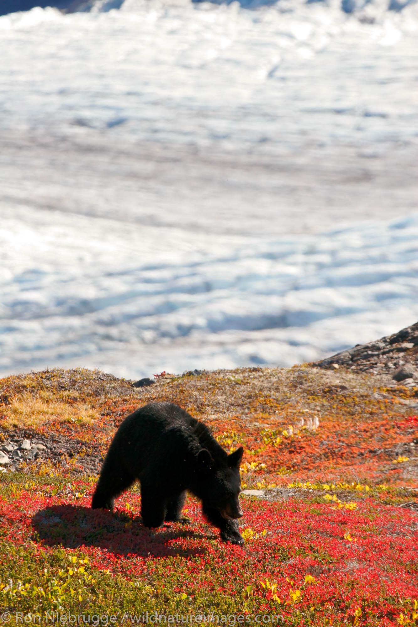 Black bears along the Harding Icefield trail, Kenai Fjords National Park, Alaska.