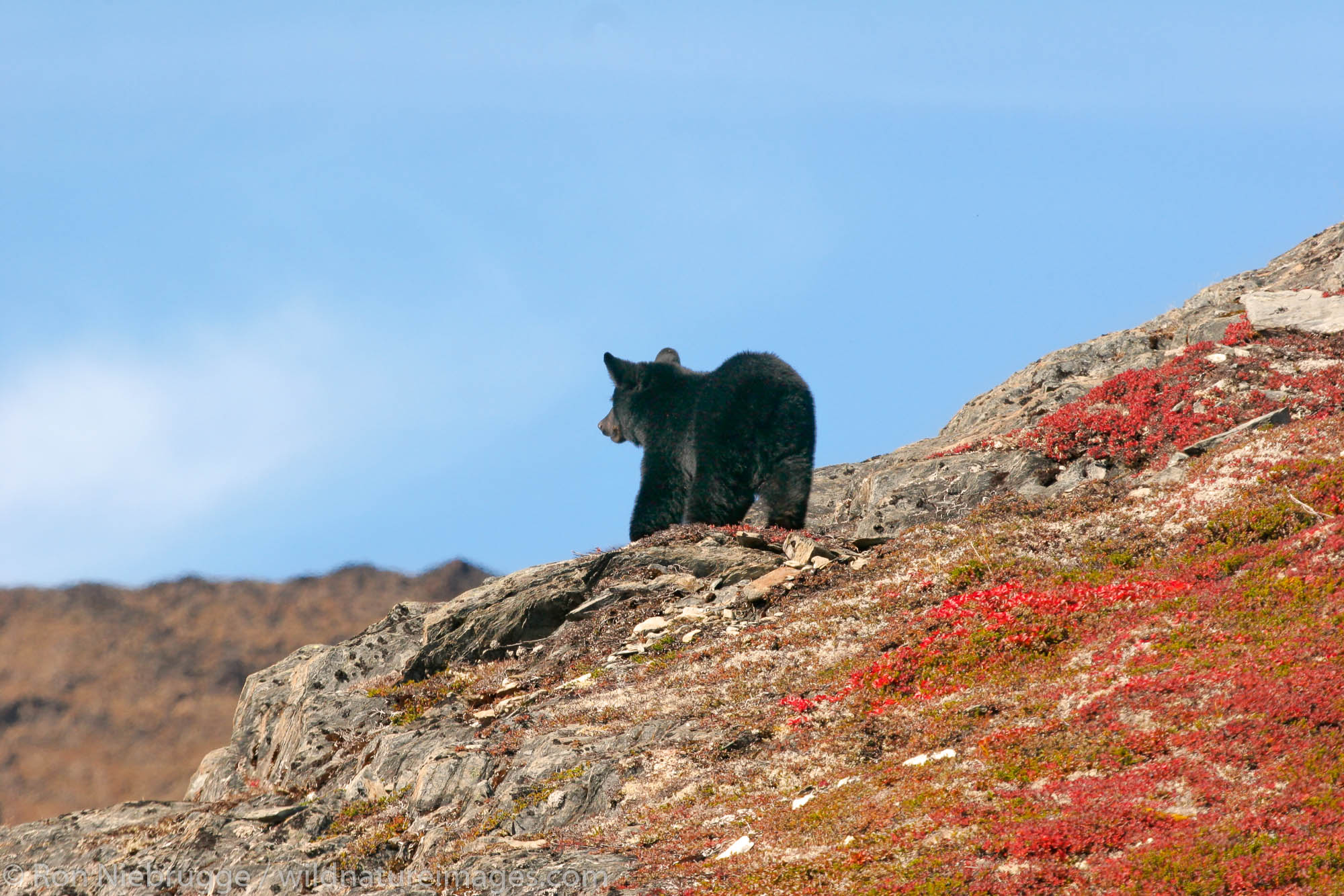Black bear along the Harding Icefield Trail near Exit Glacier, Kenai Fjords National Park, Alaska.
