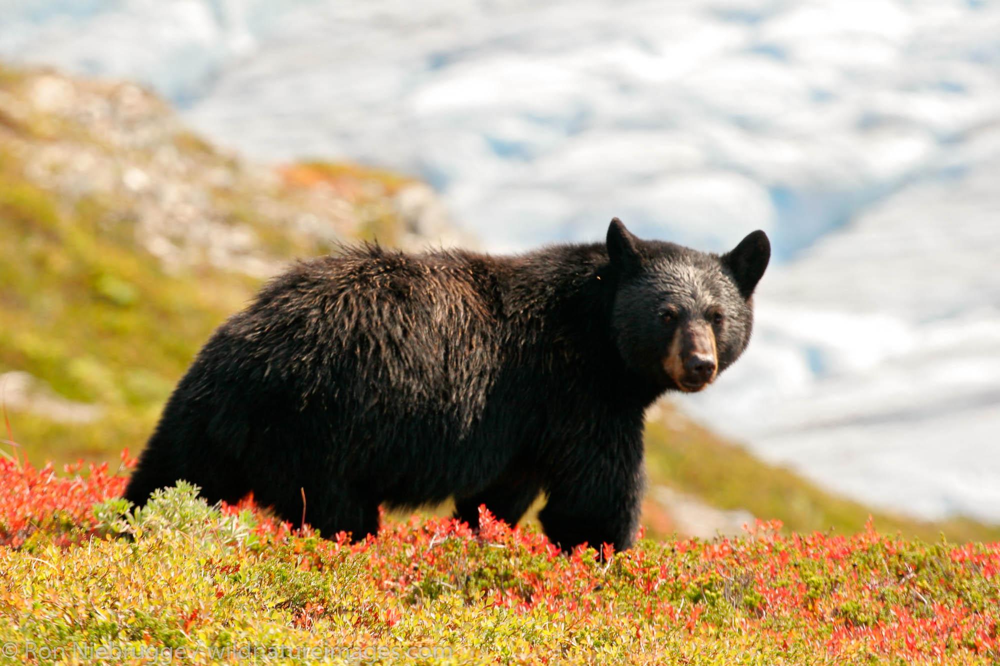 Kenai Fjords National Park, Alaska, , bear, photos, photo