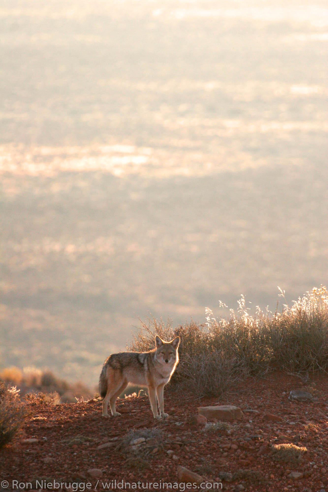 Coyote in Monument Valley Navajo Tribal Park, Utah.