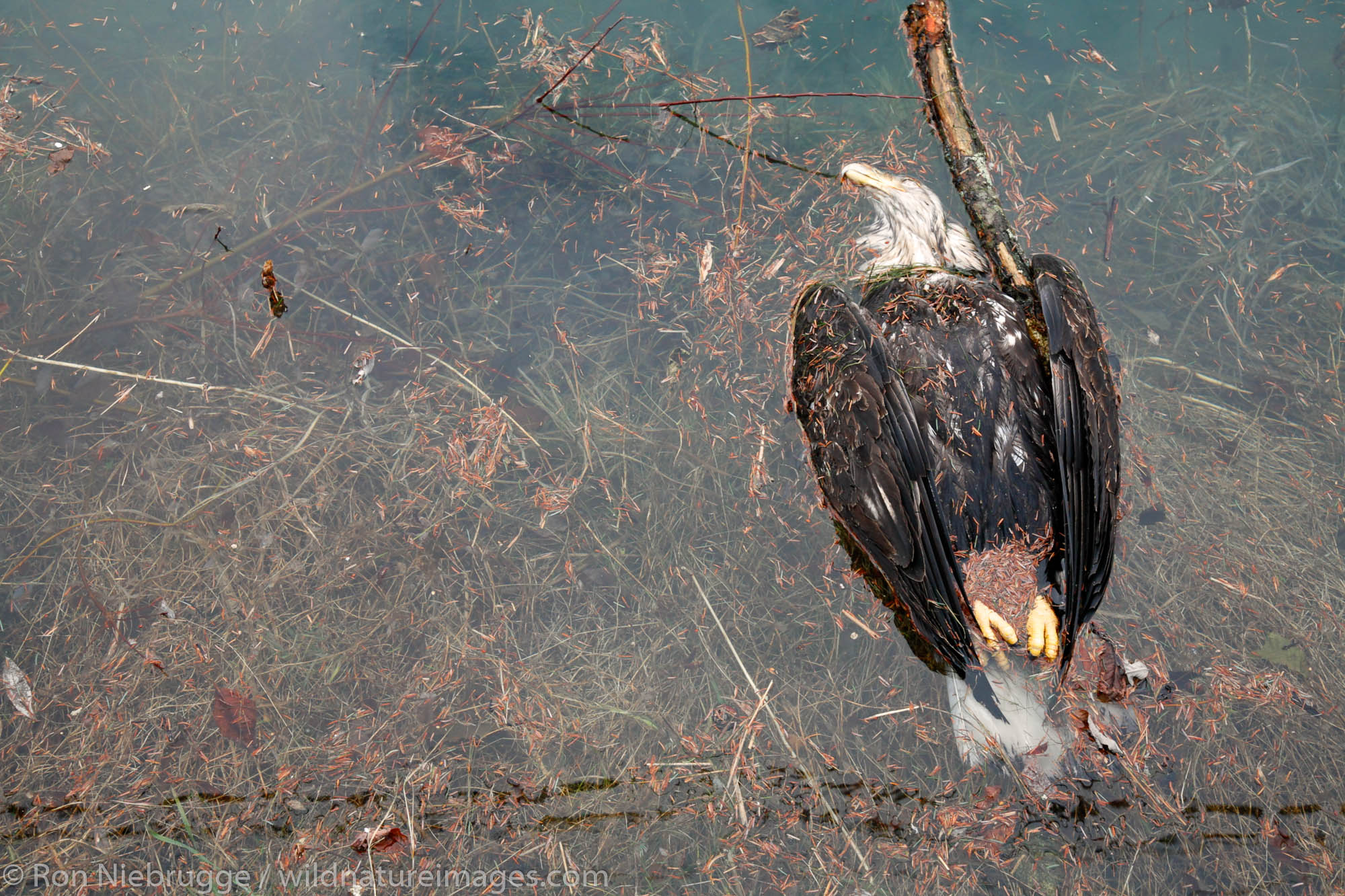 A dead Bald Eagle floats under a powerline, Seward, Alaska.  I have seen Bald Eagles electrocuted when thier wings touched two...