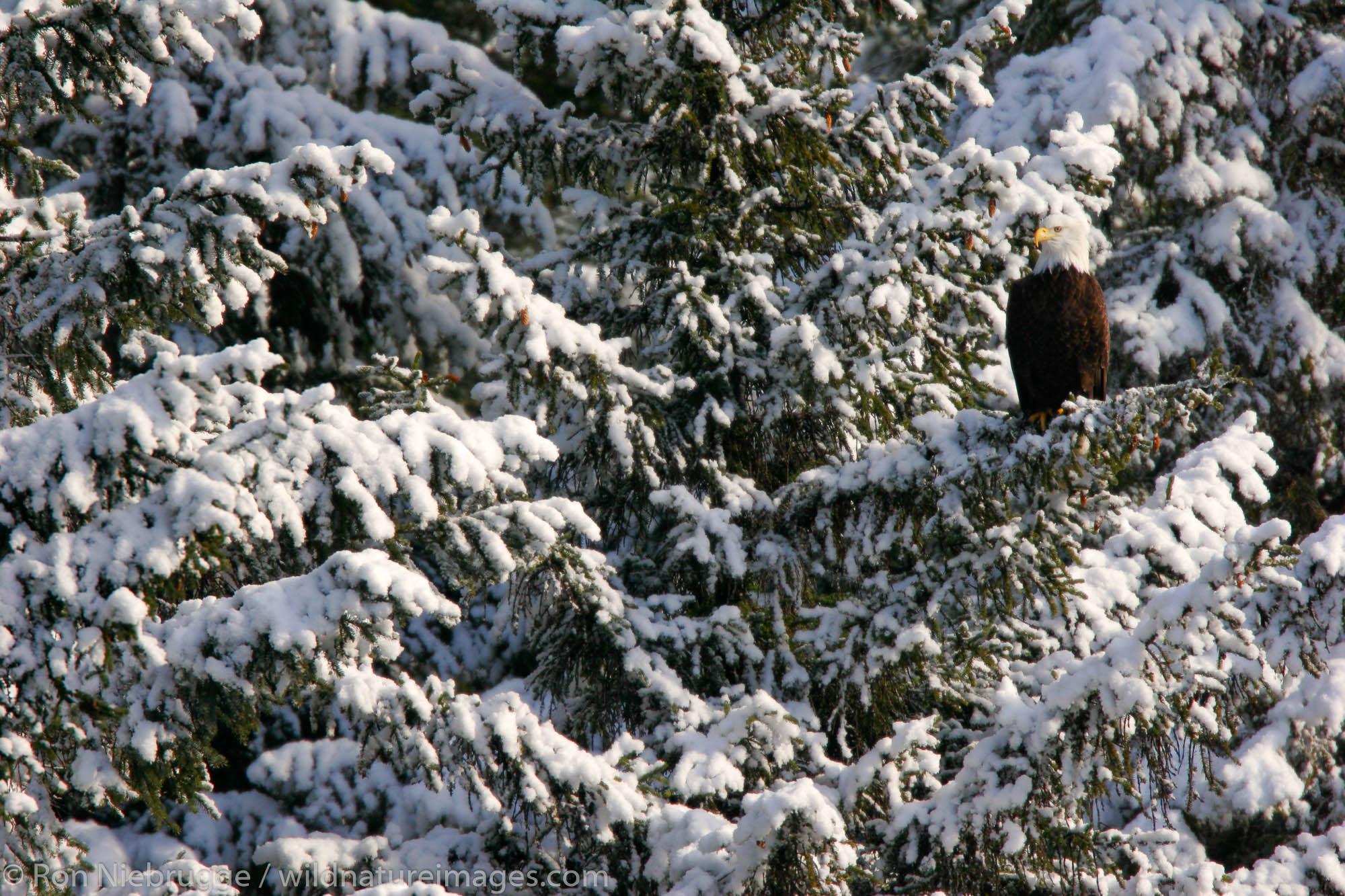 Bald Eagle in a winter storm, Chugach National Forest, Alaska.