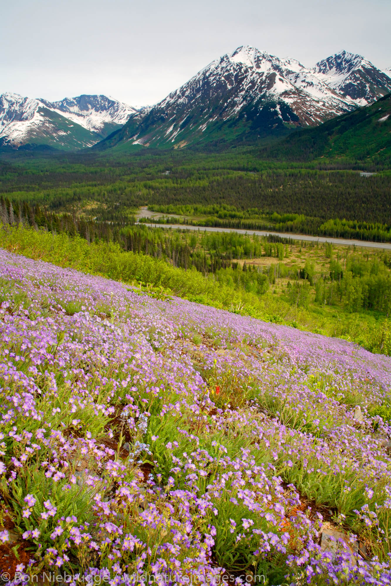 Wildflowers bloom along the Seward Highway, Kenai Peninsula, Chugach National Forest, Alaska.