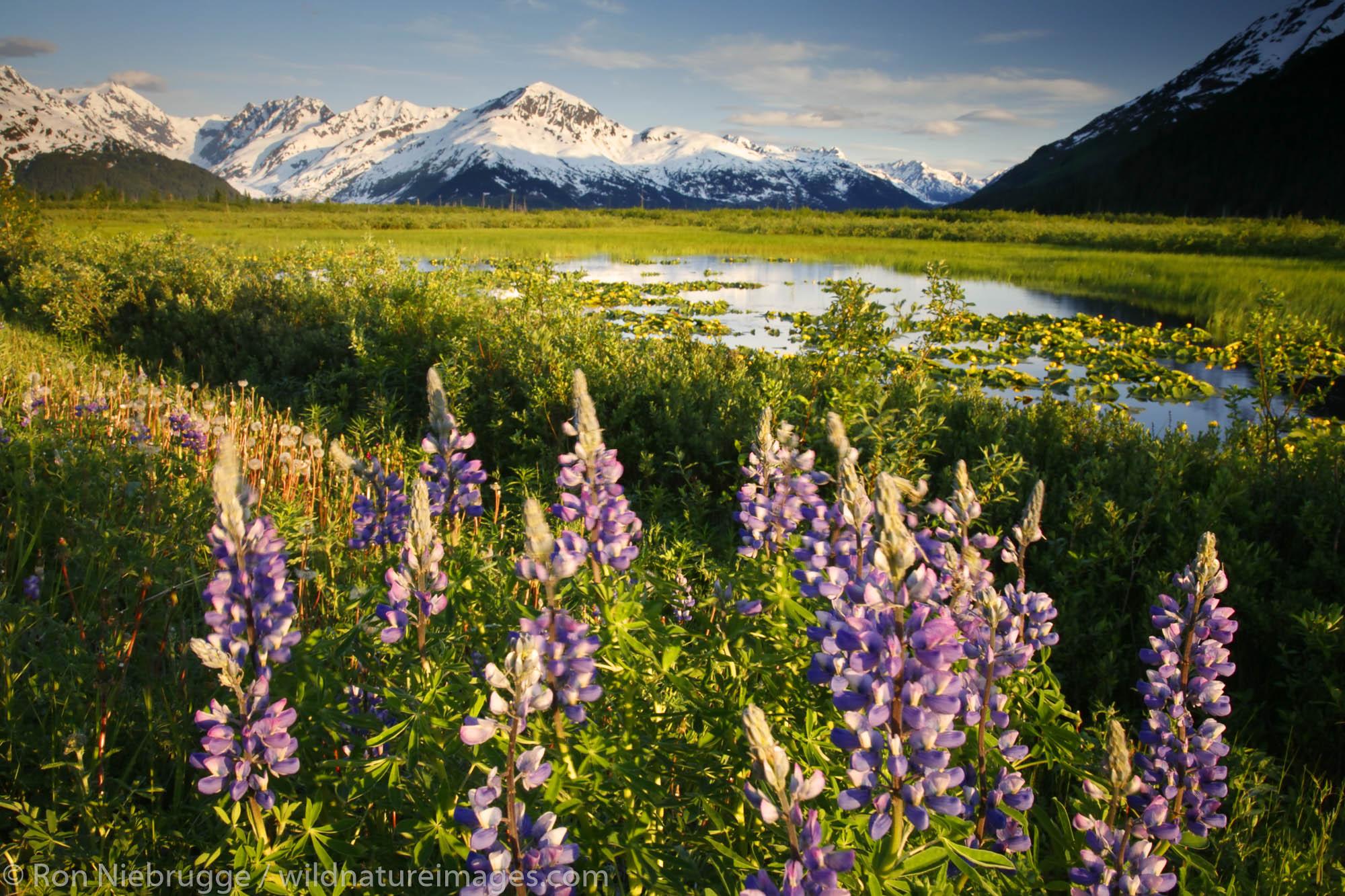Lupine blooms along Turnagain Arm, Chugach National Forest, Alaska.