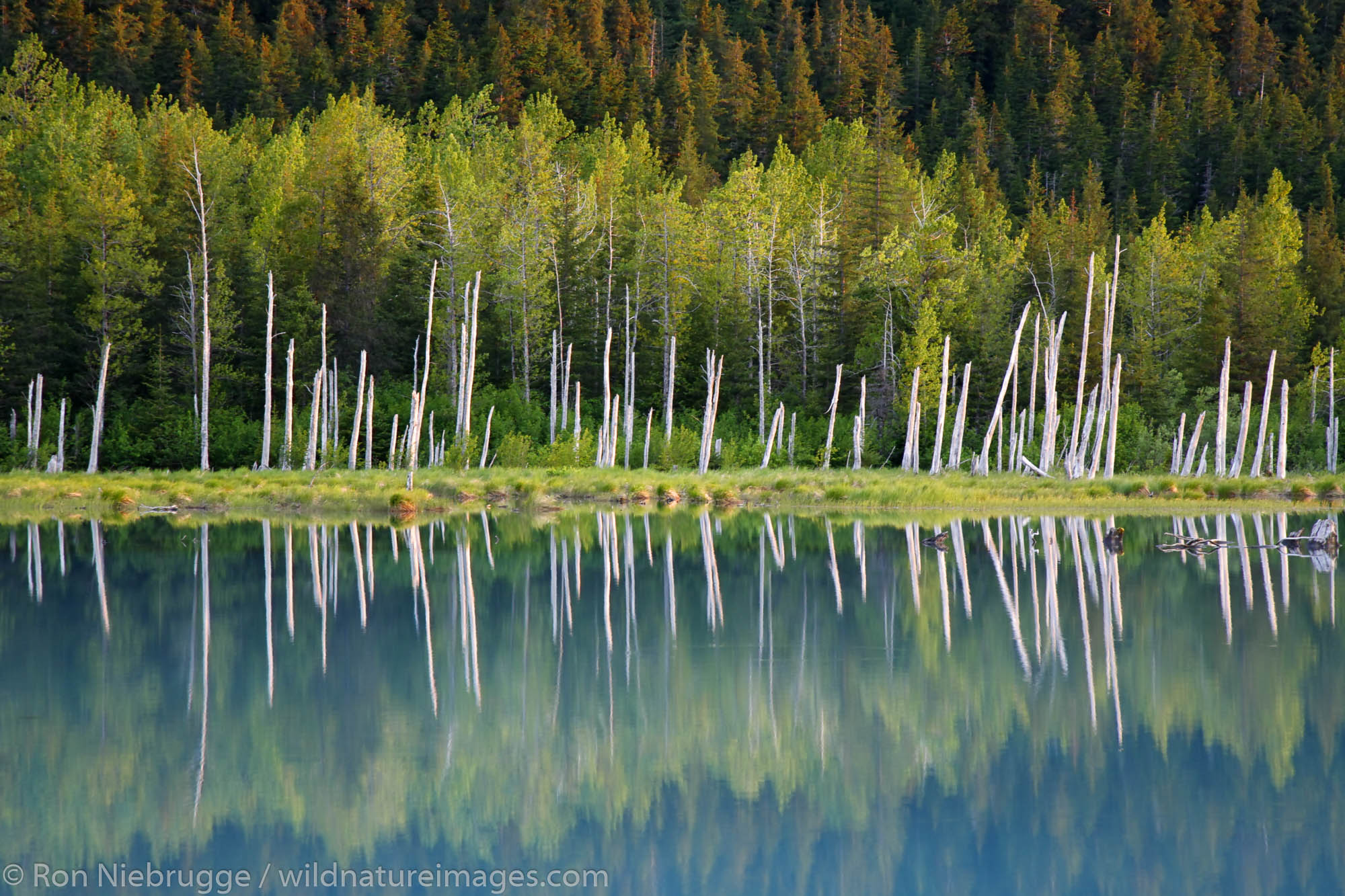 Standing dead trees known as a ghost forest, Portage Valley, Chugach National Forest, Alaska.