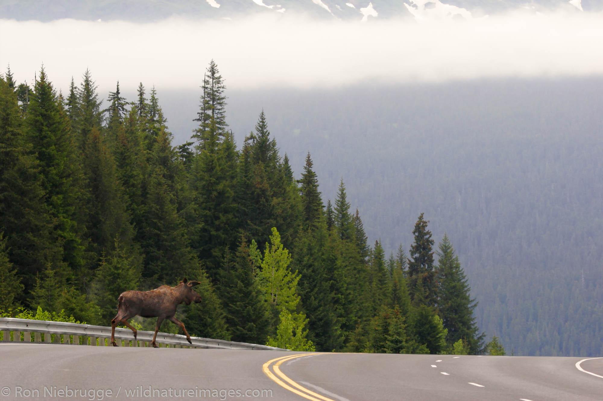 Moose crossing the Seward Highway, Kenai Peninsula, Chugach National Forest, Alaska.