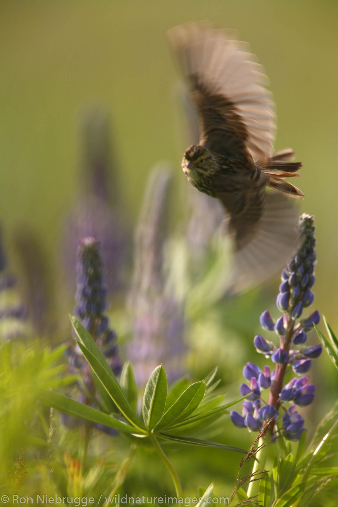 Savannah Sparrow perched on Lupine, Kenai Peninsula, Chugach National Forest, Alaska.