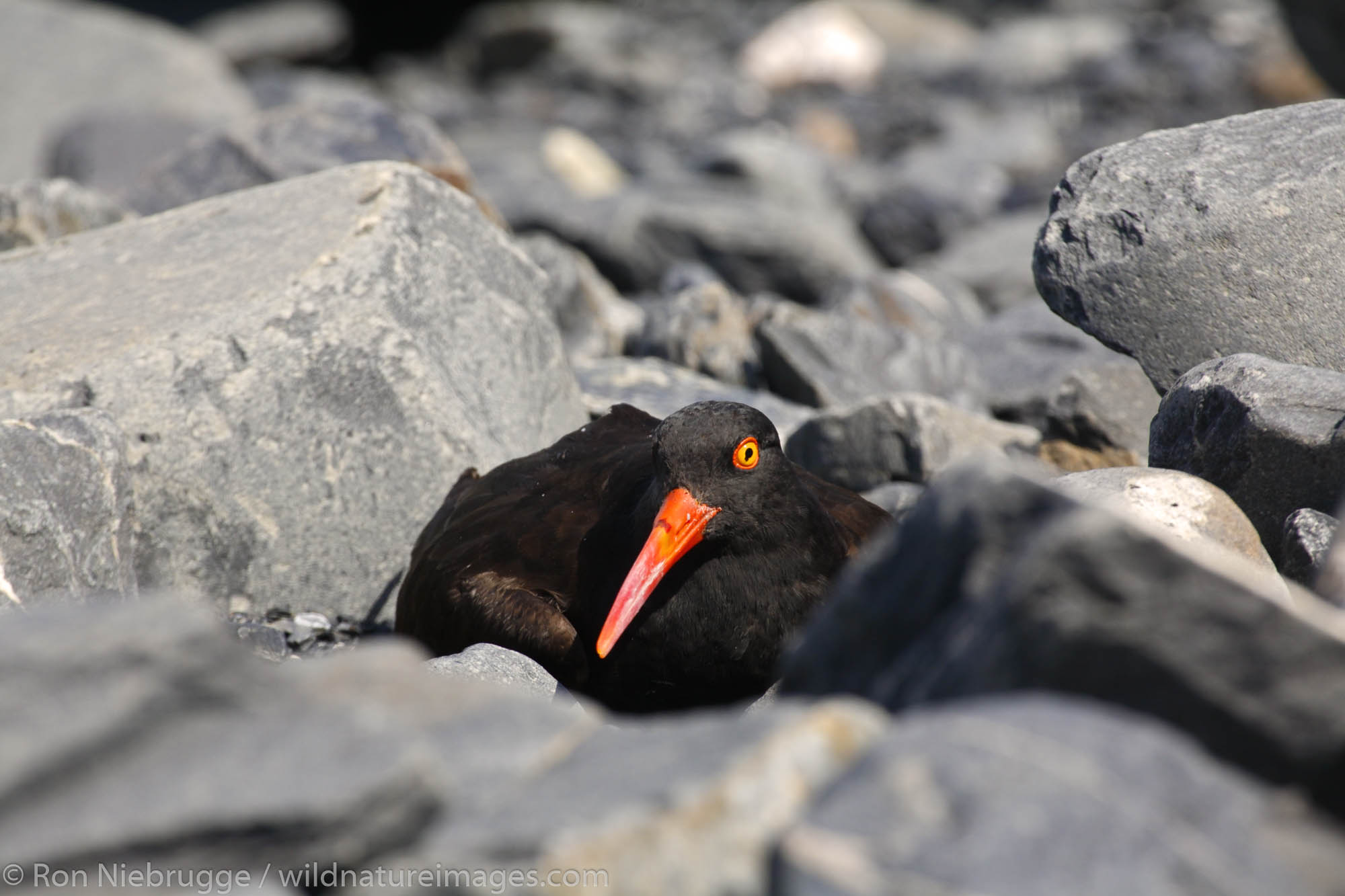Black Oystercatcher (Haematopus bachmani) with a radio transmitter on its back, Harriman Fiord, Prince William Sound, Chugach...