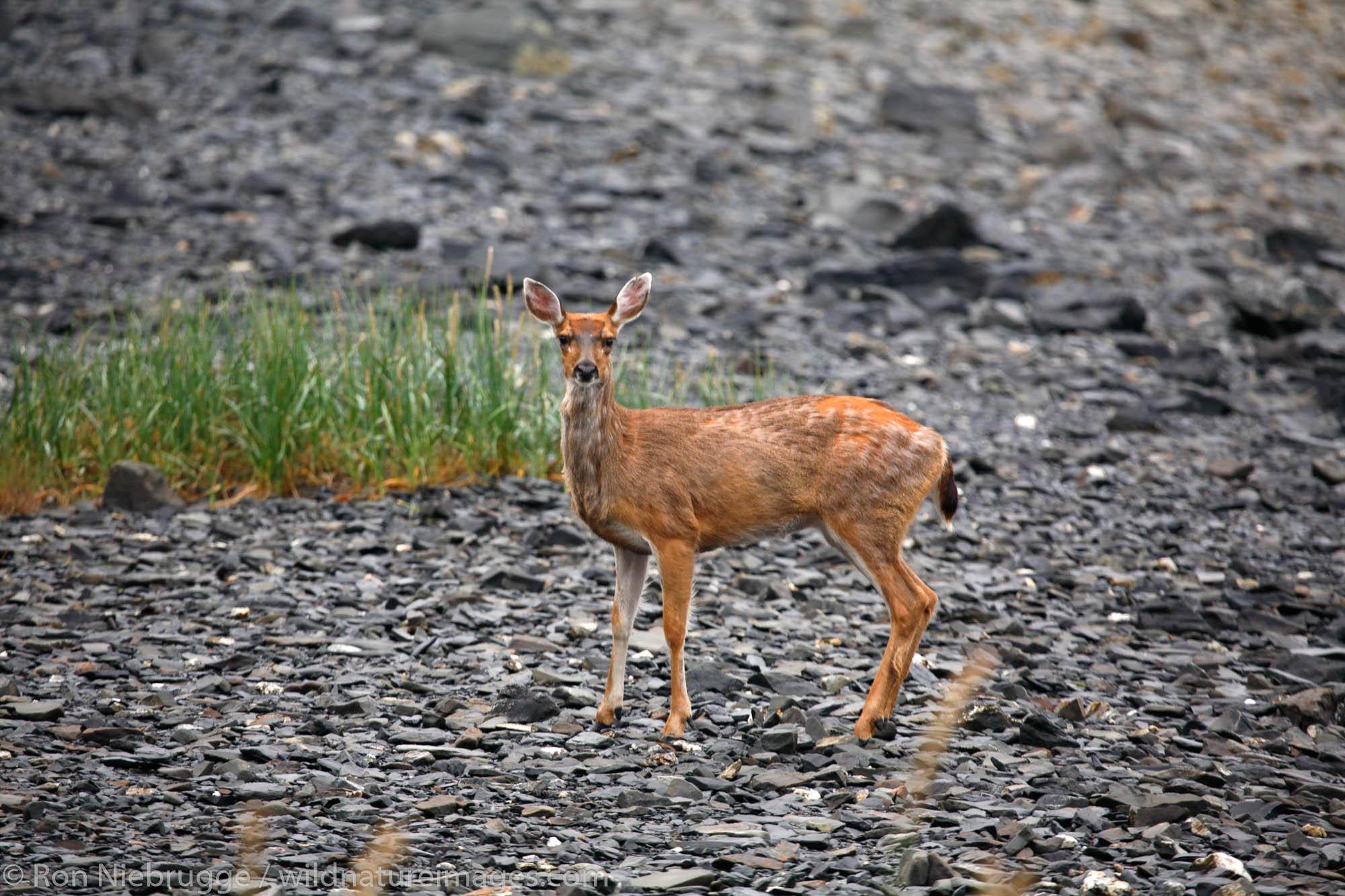Sitka Black-tailed Deer, (Odocoileus hemionus sitkensis), Barry Arm, Prince William Sound, Chugach National Forest, Alaska.