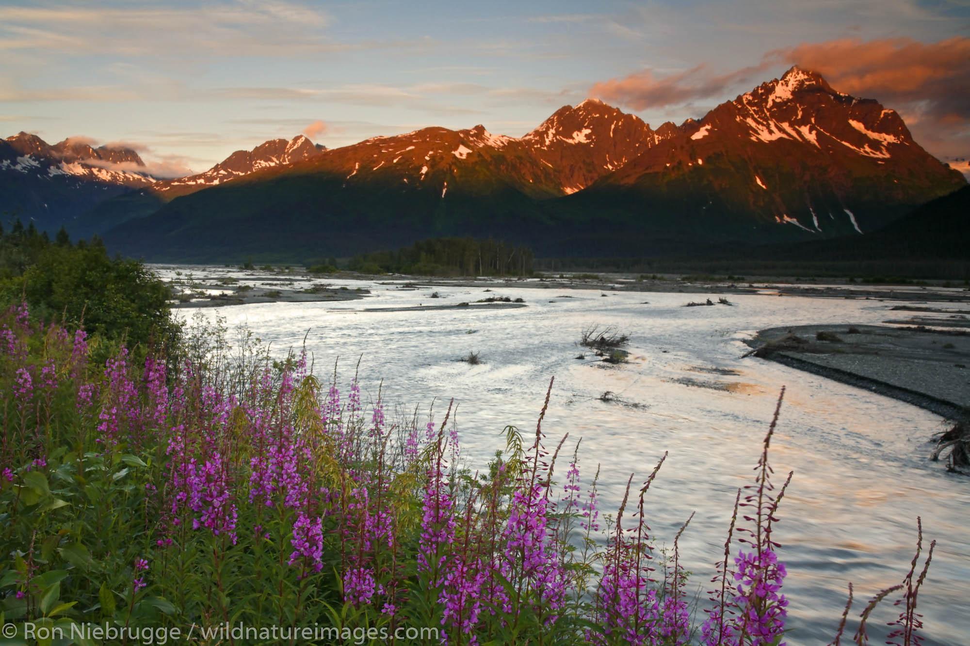 Fireweed along the Lowe River, Valdez, Alaska.