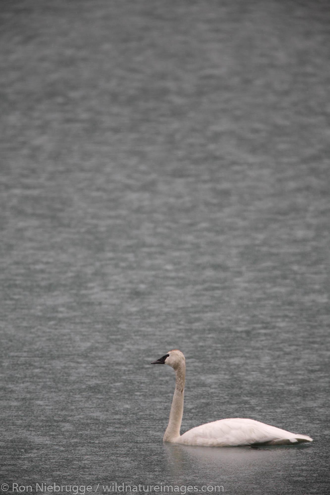 Swan in Eyak Lake, Cordova, Chugach National Forest, Alaska.