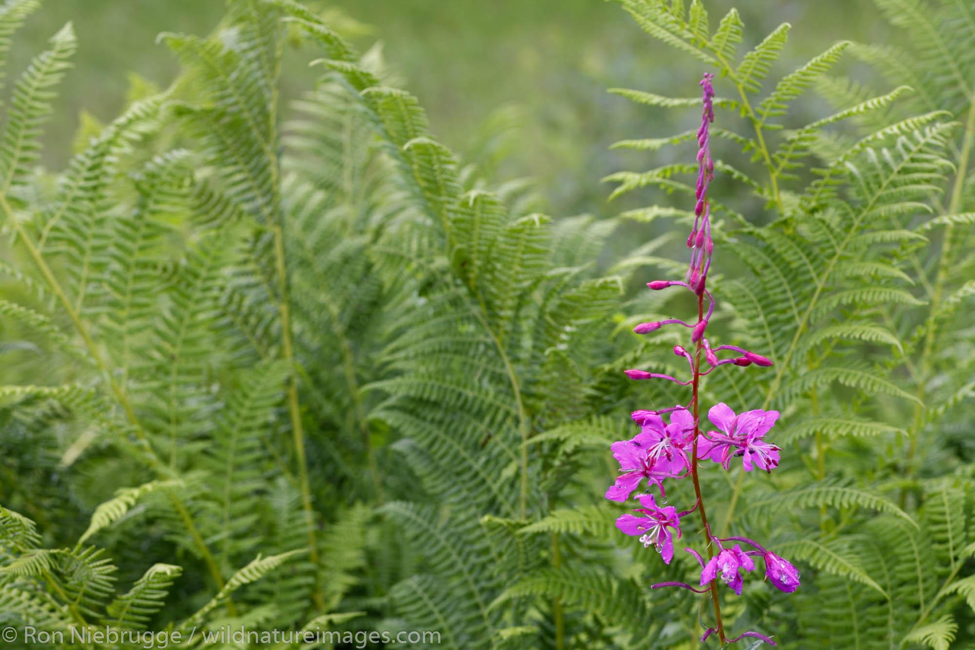 Common Fireweed, Cordova, Copper River Delta, Chugach National Forest, Alaska.