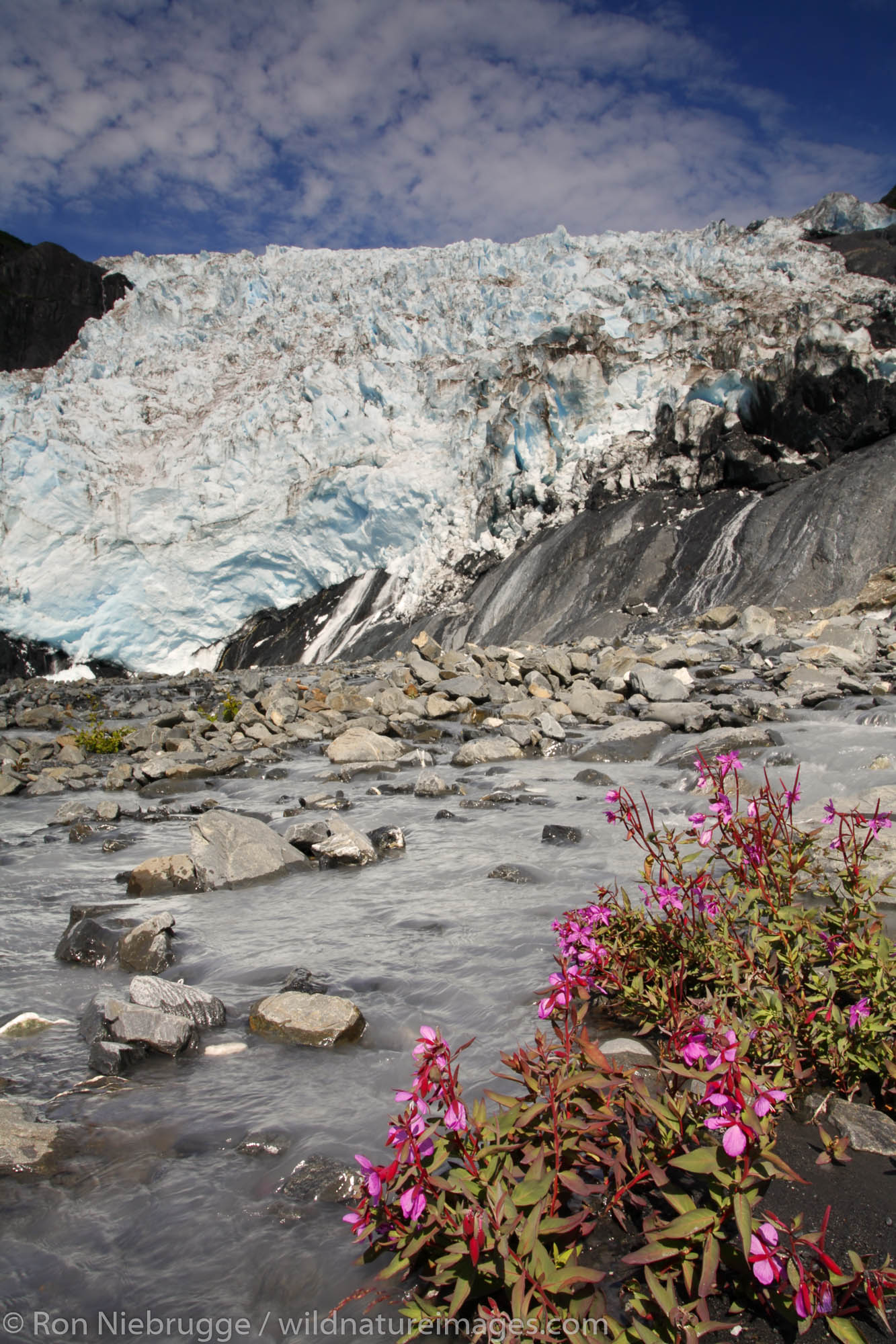 Dwarf Fireweed blooms in front of Coxe Glaicer, Harriman Fiord, Prince William Sound, Chugach National Forest, Alaska.