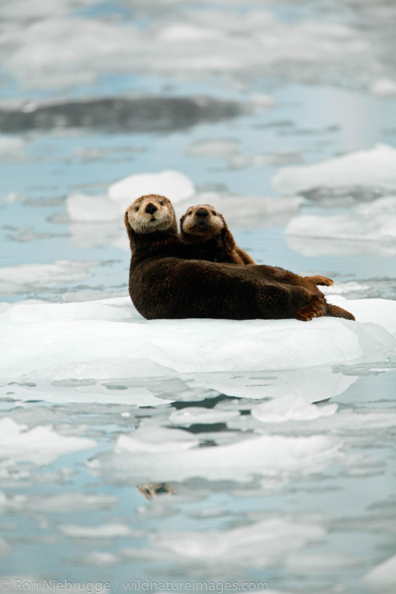 Chugach National Forest, Alaska Chugach, Sea Otter, photo