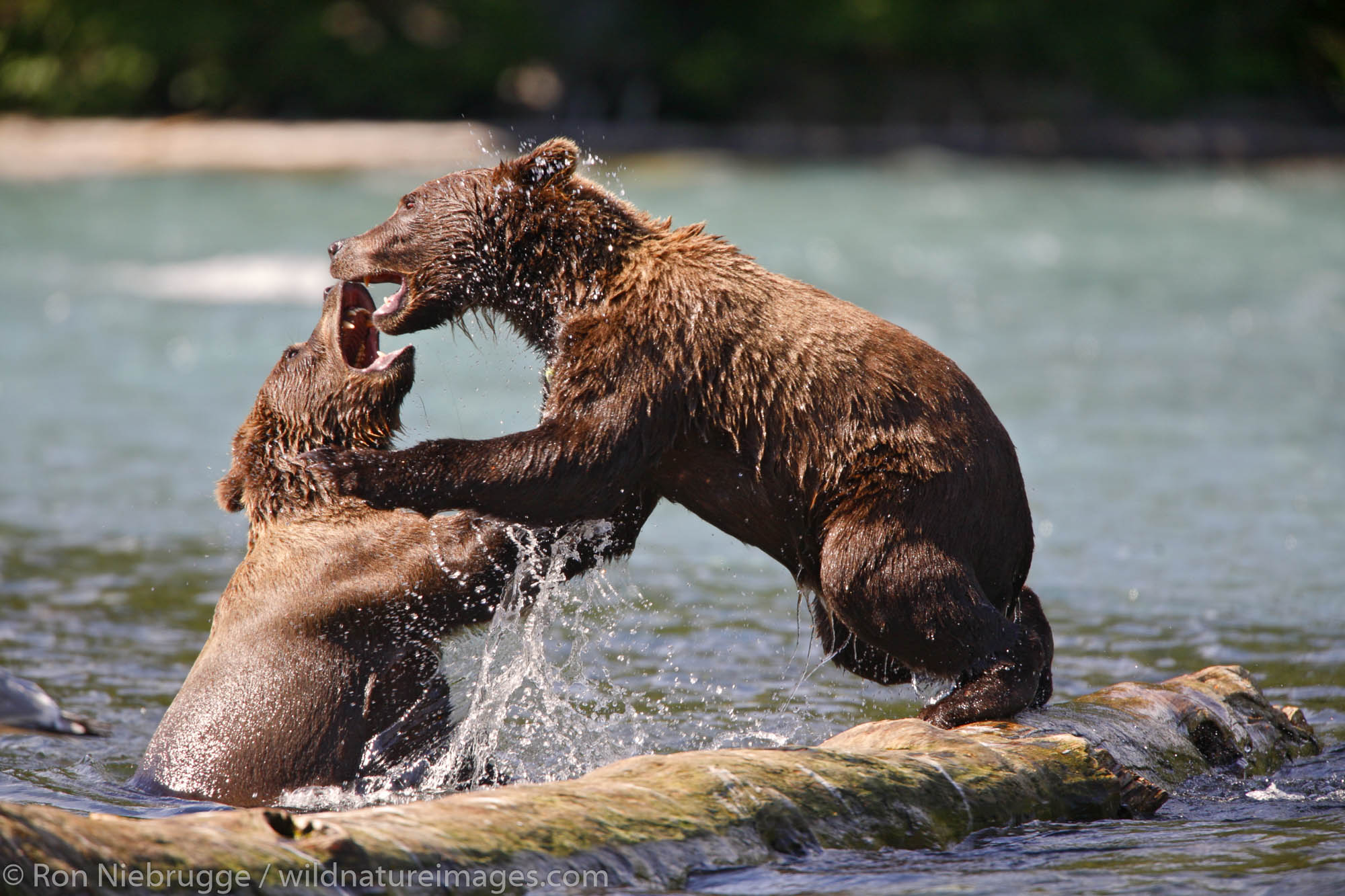 Grizzly Bears playing at the confluence of the Russian River and Kenai River Kenai Peninsula Chugach National Forest Alaska.