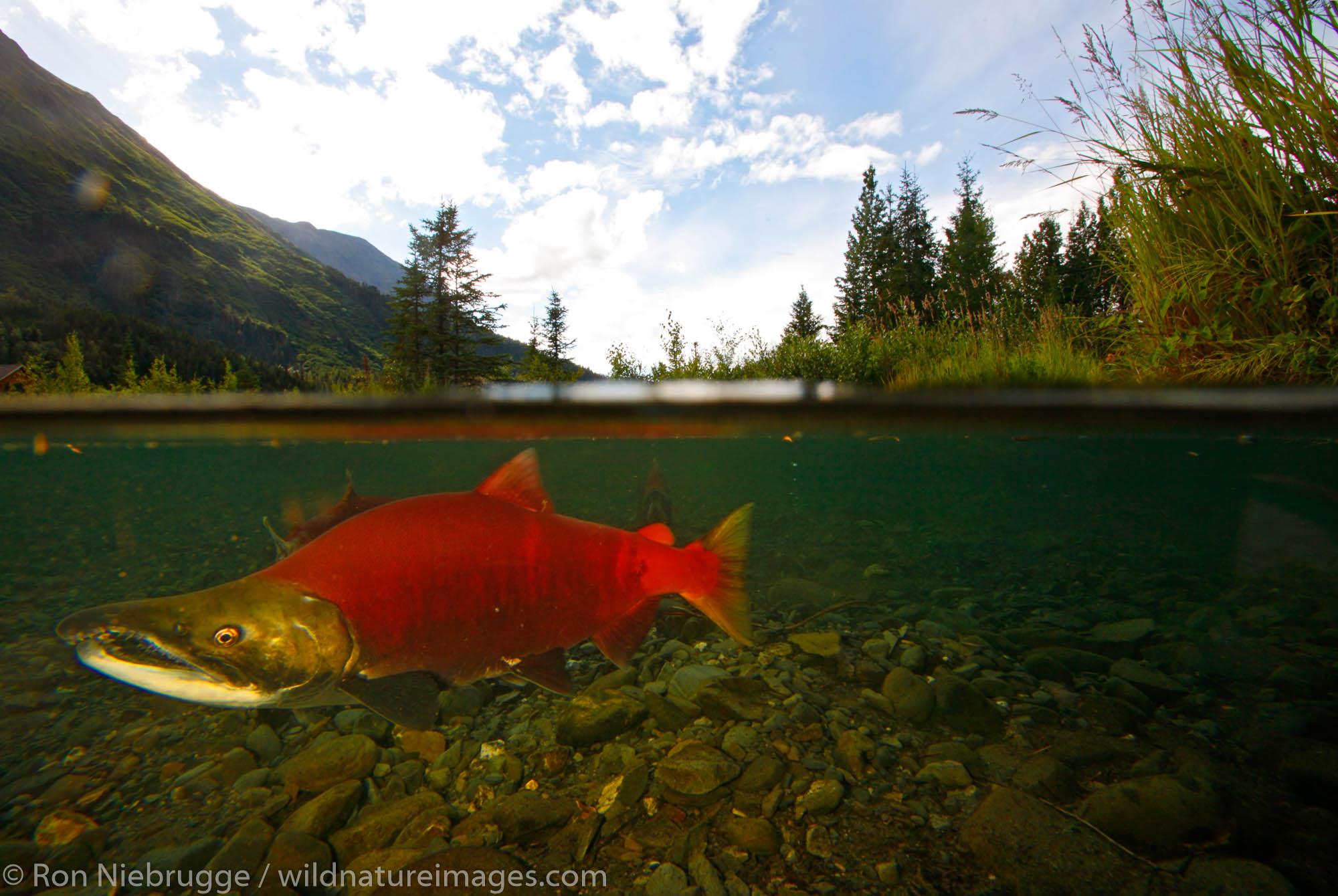 Spawning Red Salmon, Tern Lake, Kenai Peninsula, Chugach National Forest, Alaska.