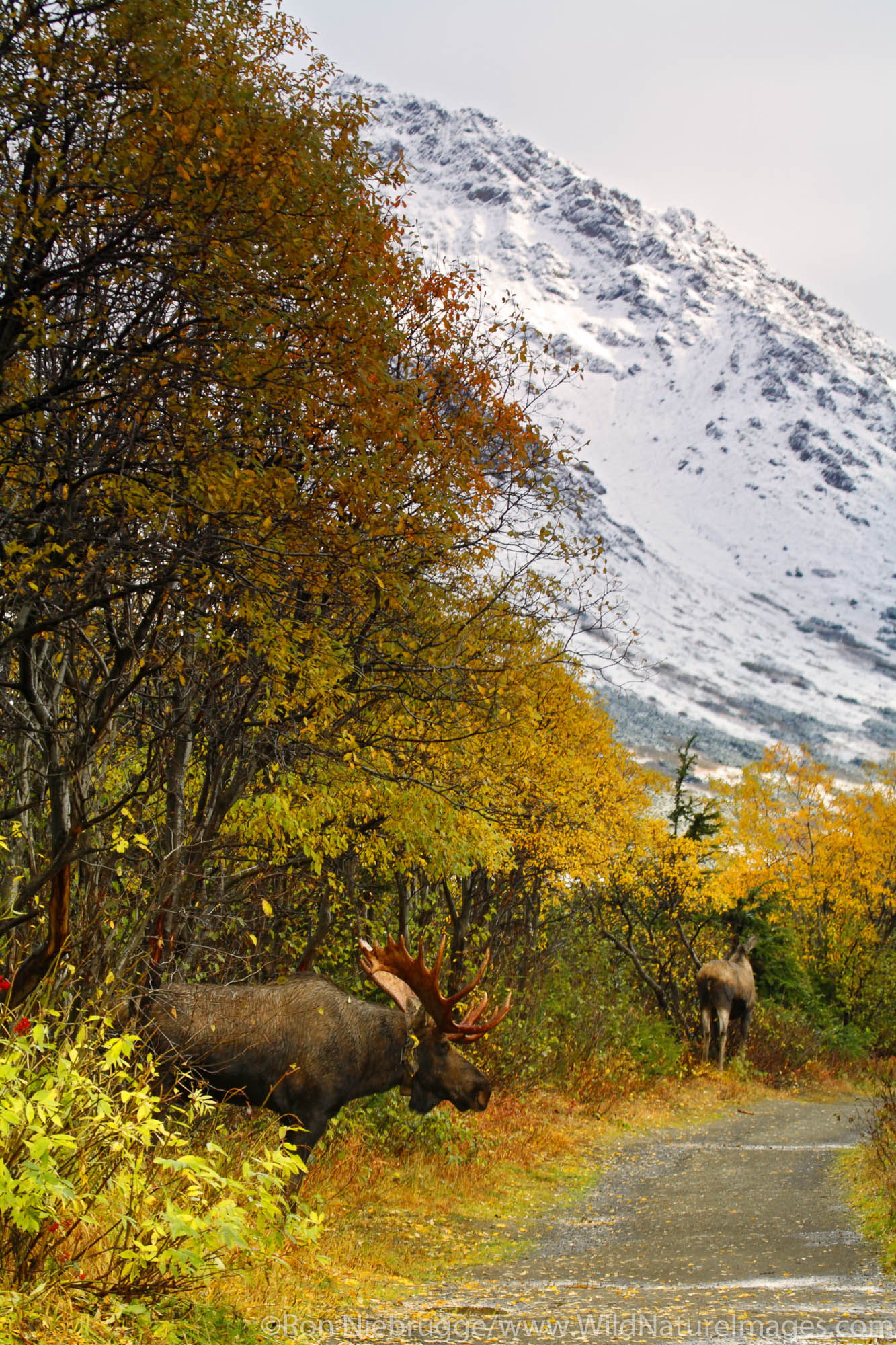 A Bull Moose pursues a cow during the fall rut in the Chugach Mountains, Chugach State Park, Anchorage, Alaska.