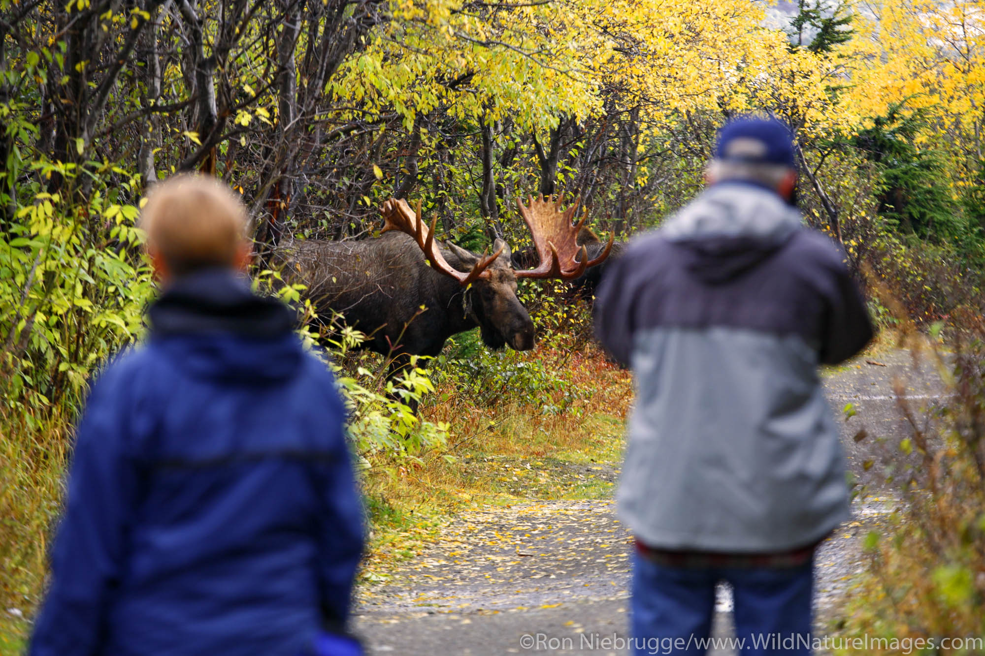Visitors watch a bull Moose pursues a cow during the fall rut in the Chugach Mountains, Chugach State Park, Anchorage, Alaska...