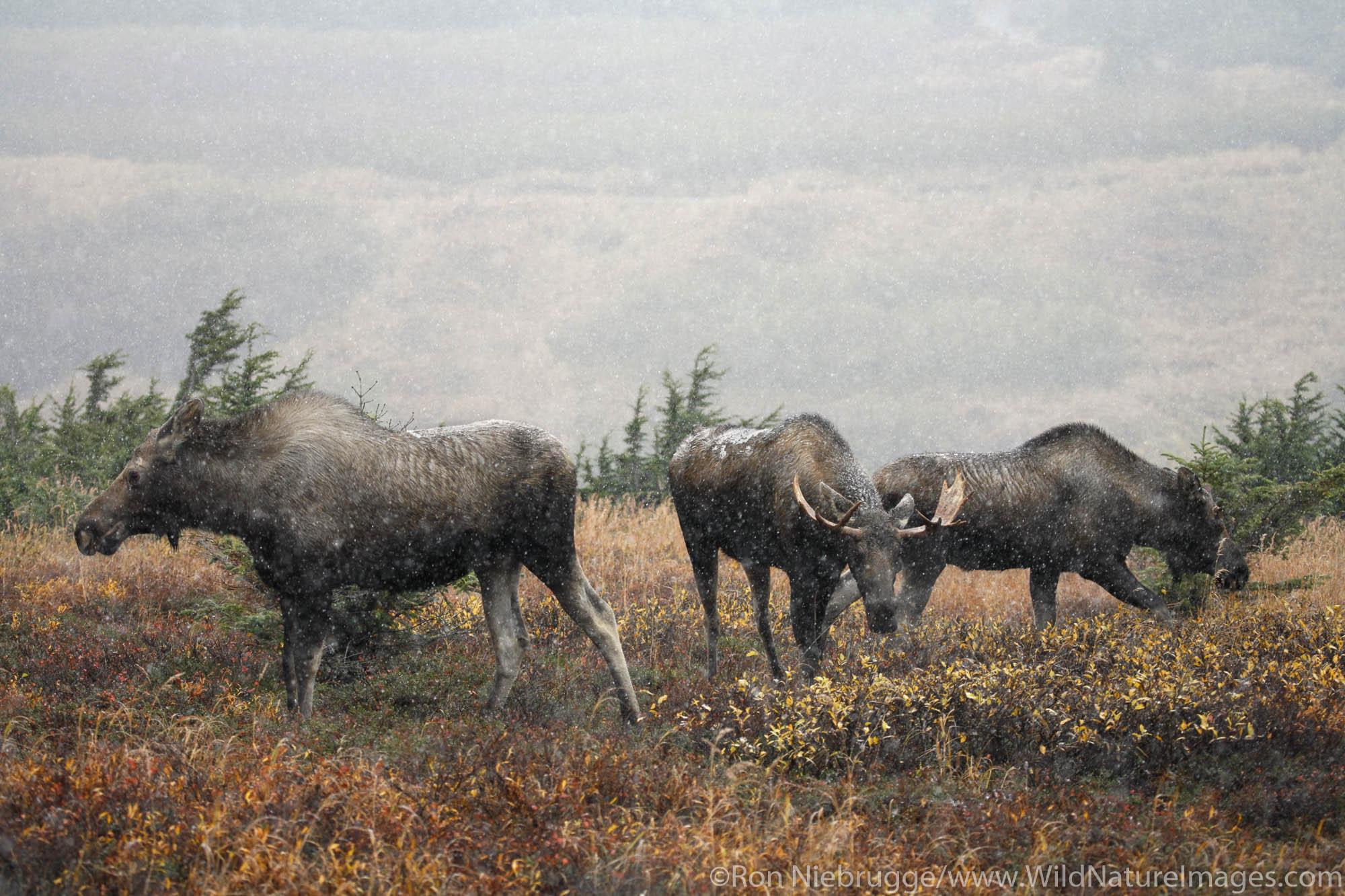 Bull Moose with his harem during Fall rut in Chugach Mountains, Chugach State Park, Alaska.