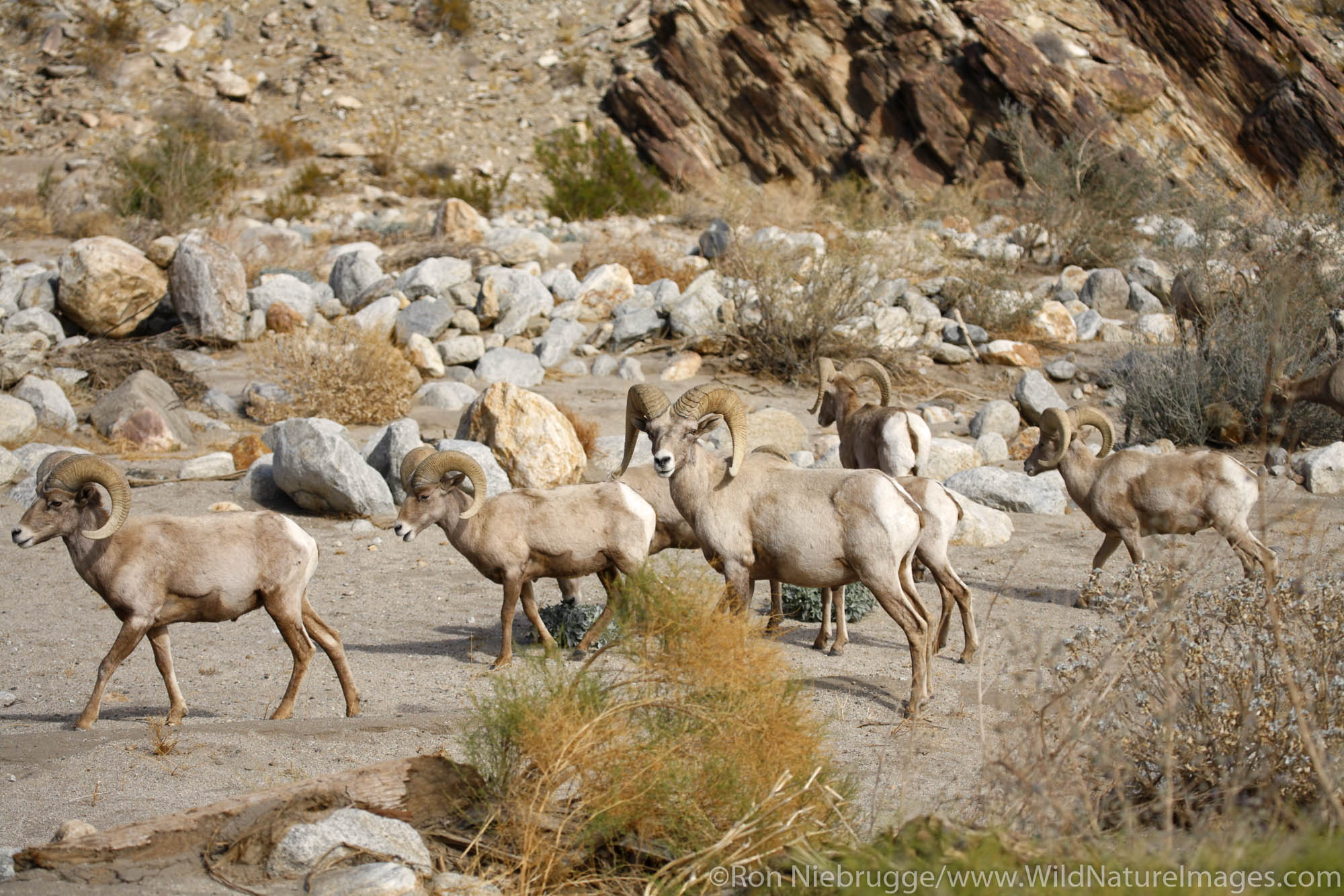 Peninsular Bighorn Sheep (Ovis canadensis cremnobates) Anza-Borrego Desert State Park, California.