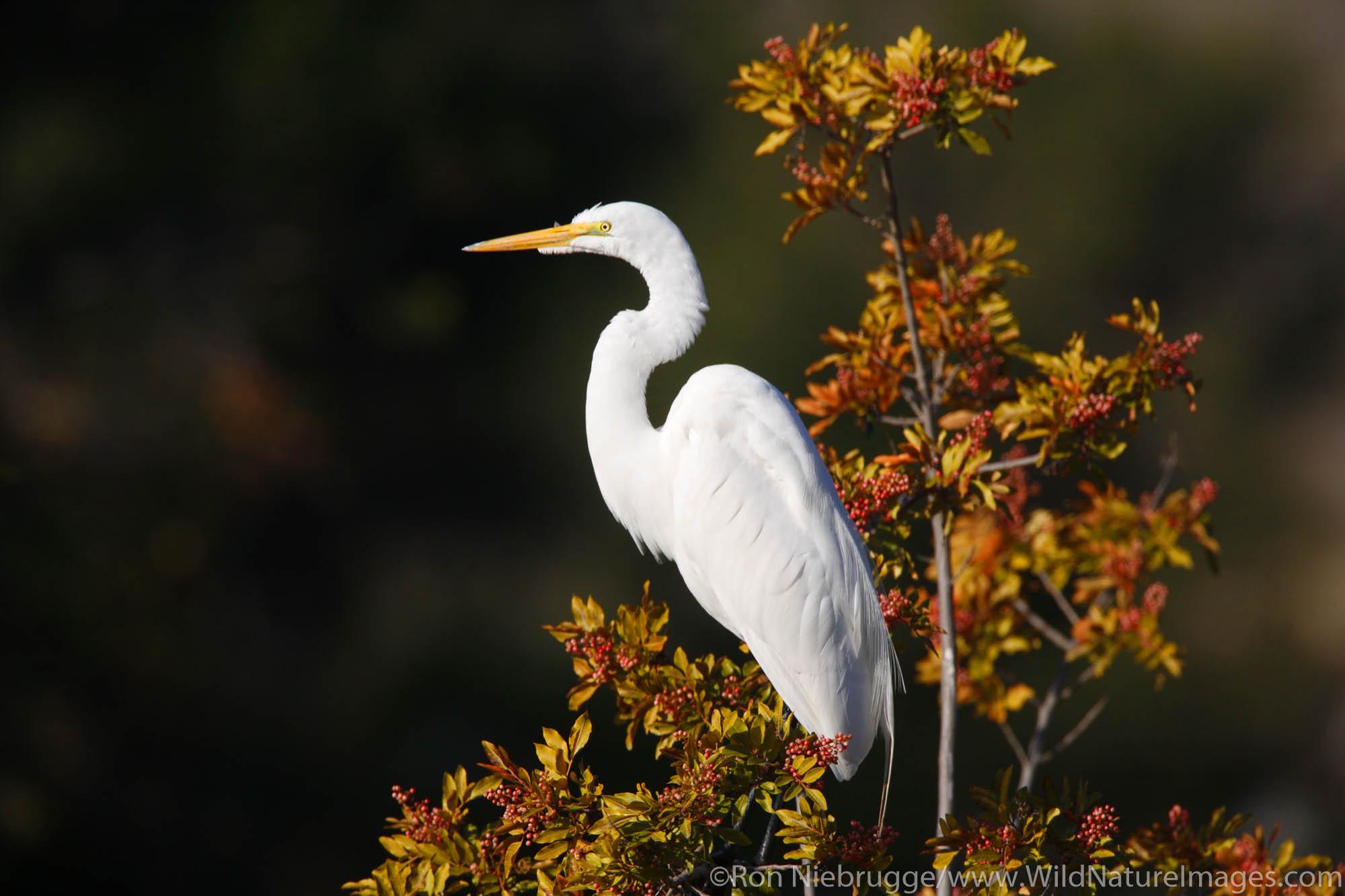 Great Egret, Santee Lakes, Santee Lakes Recreation Preserve, Santee, California.