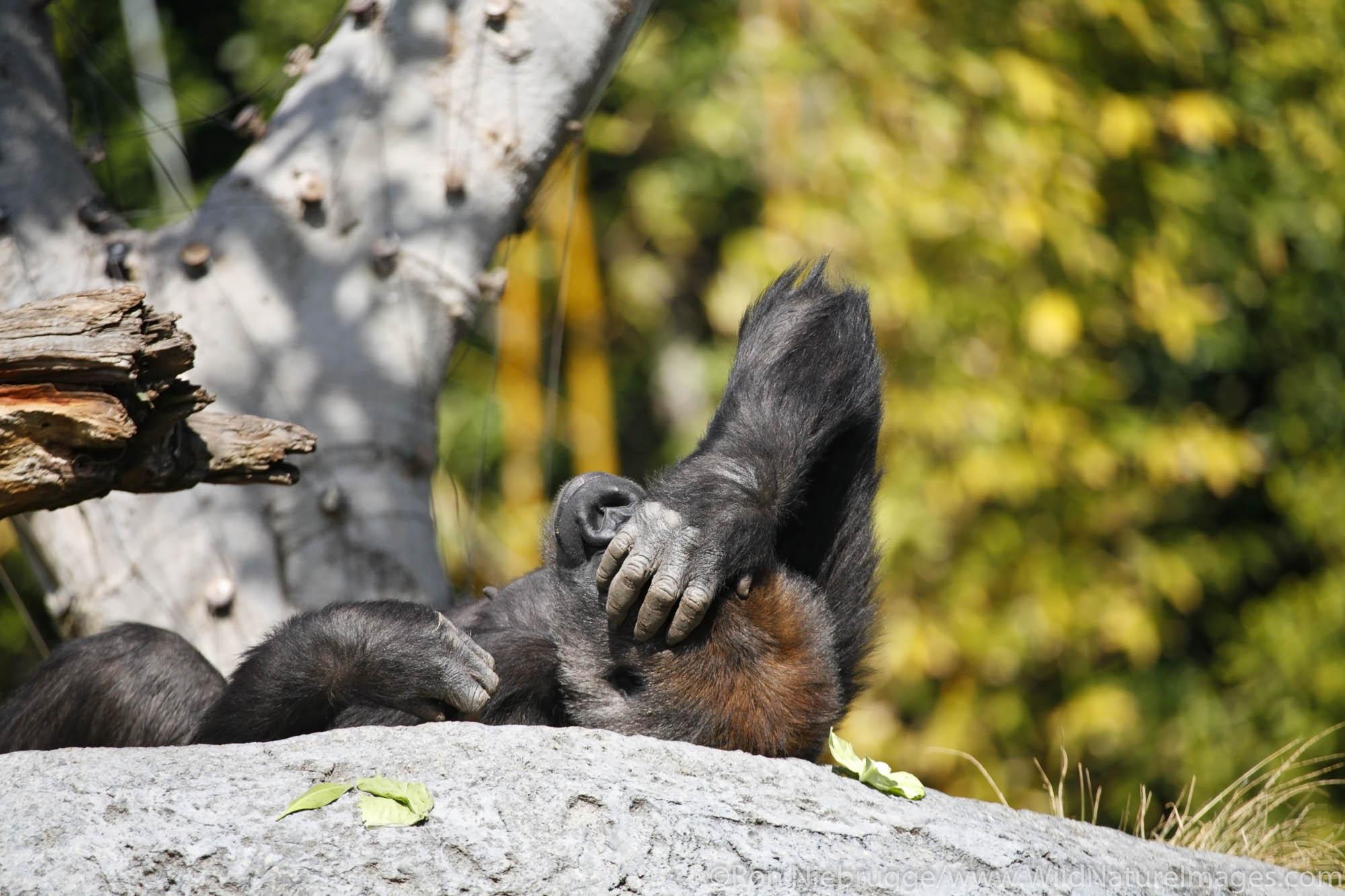 The Gorilla Tropics exhibit at the San Diego Zoo in Balboa Park, San Diego, California.