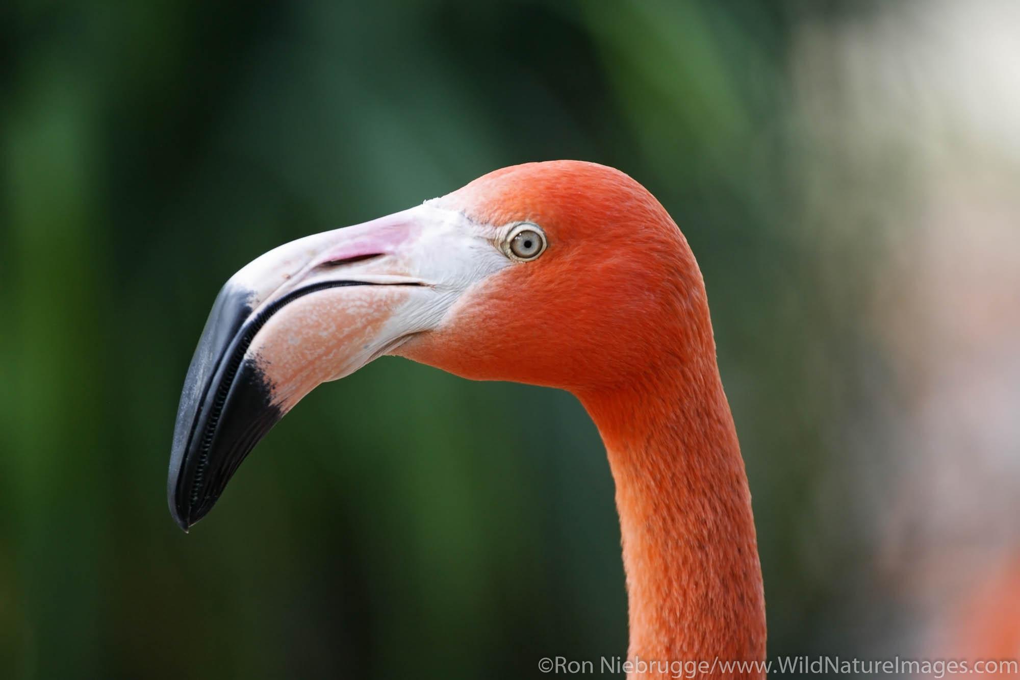 Flamingos at the San Diego Zoo in Balboa Park, San Diego, California.