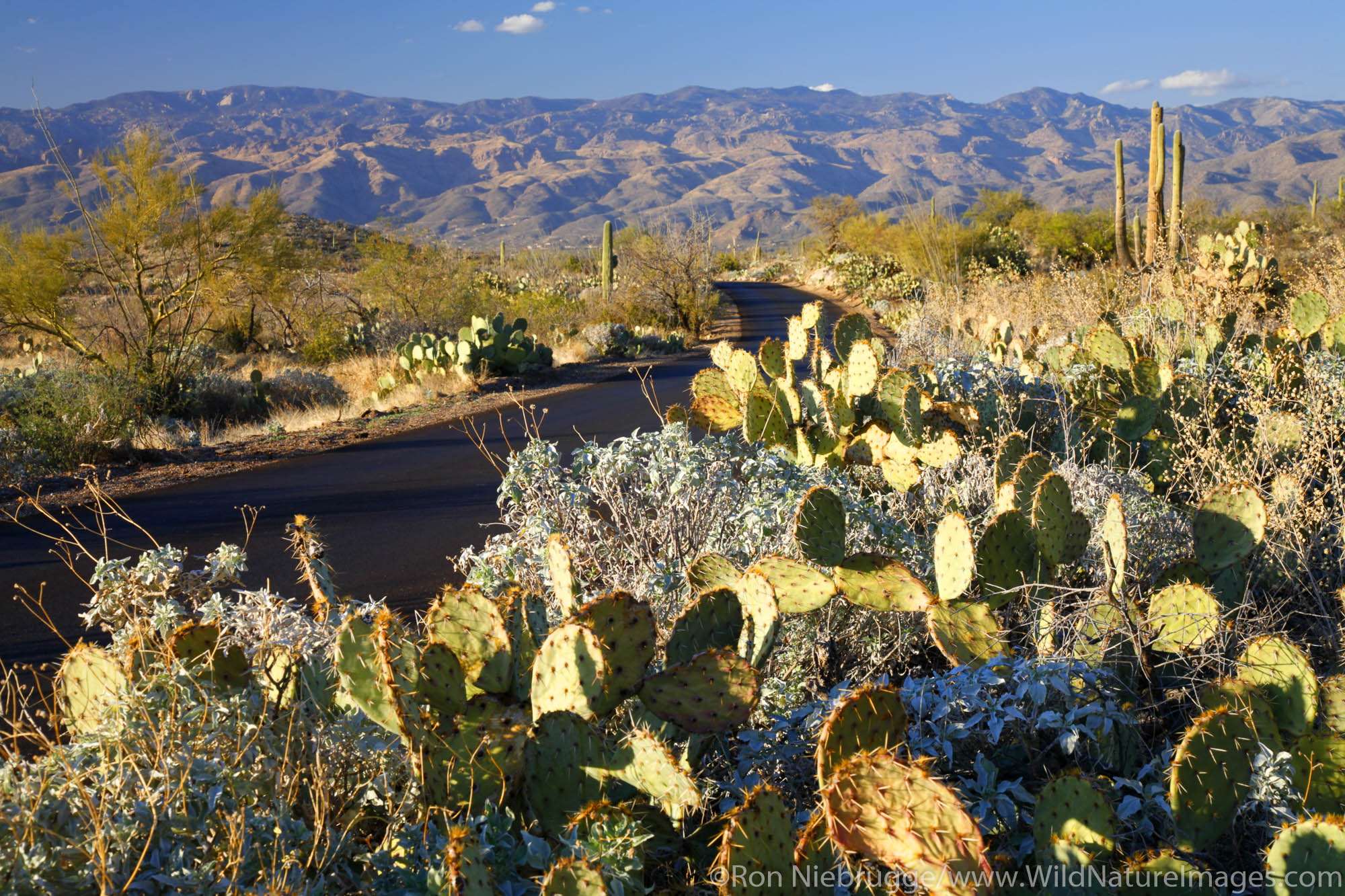 The Cactus Forest Loop Drive, Rincon Mountain District or Saguaro East, Saguaro National Park,Tucson, Arizona.