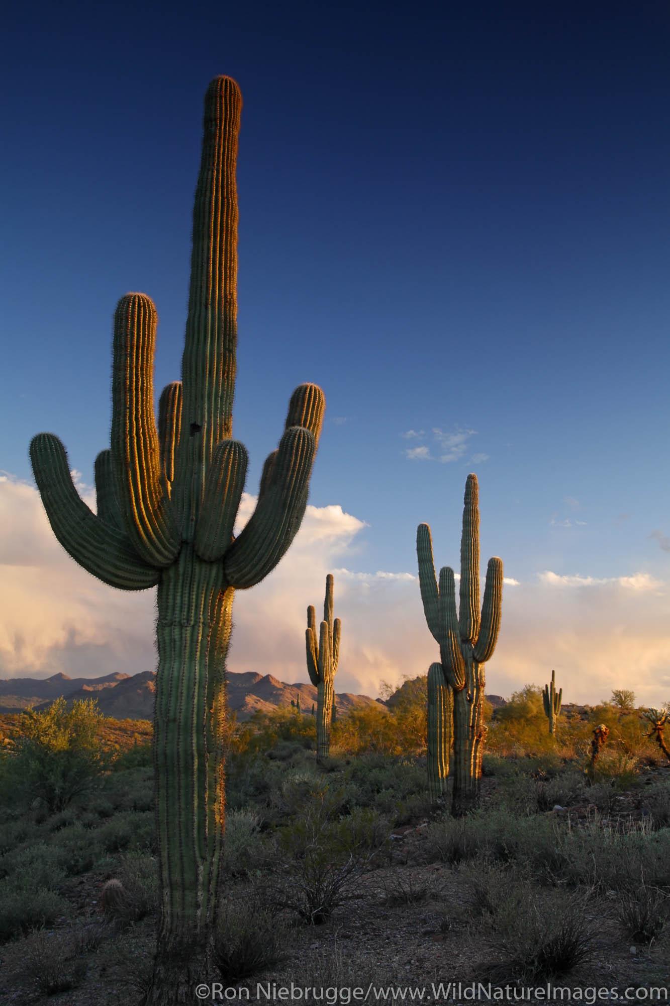 Saguaro Cactus in Fountain Hills, near Phoenix, Arizona.