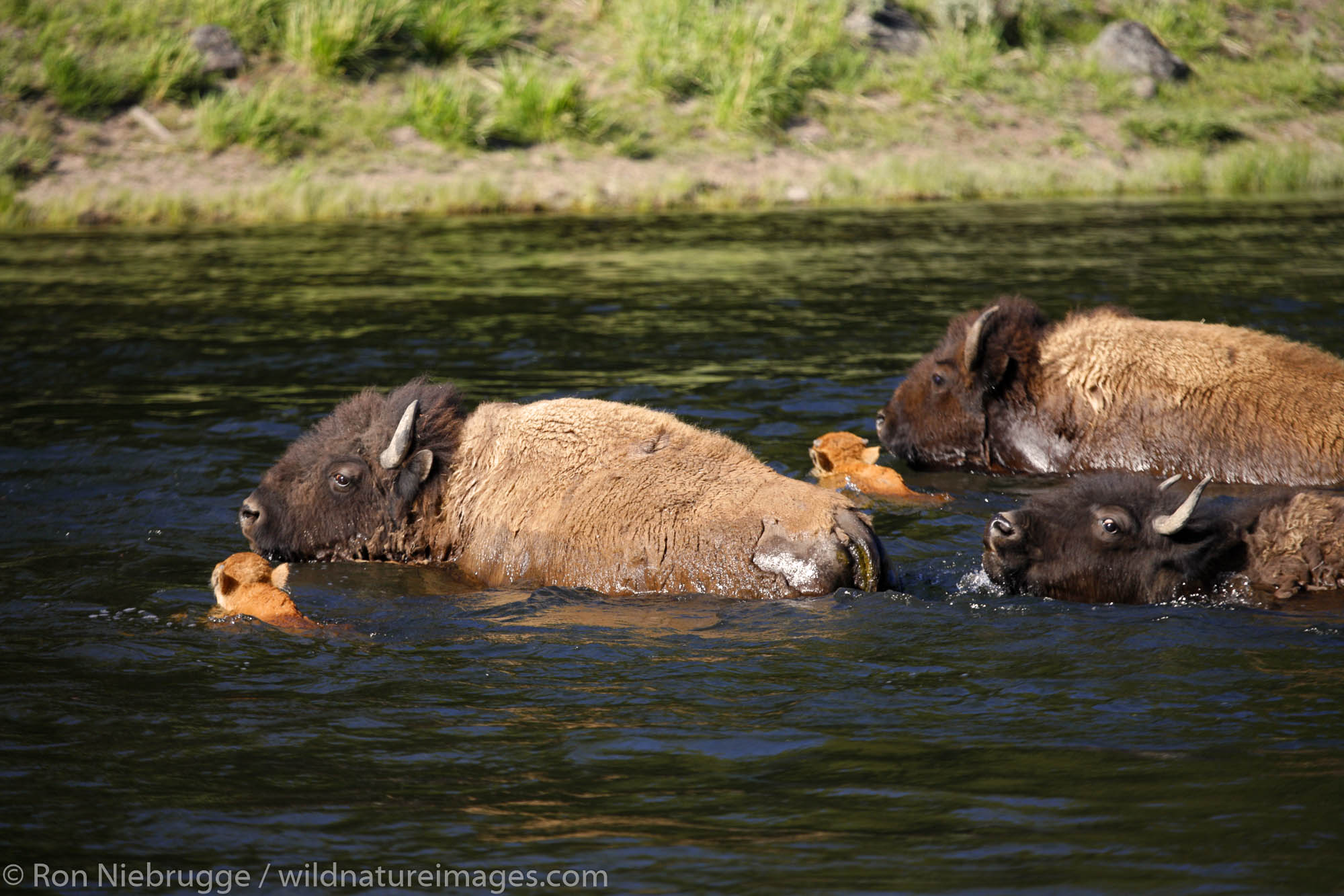 Buffalo ( Bison ) crossing the Madison River, Yellowstone National Park, Wyoming.