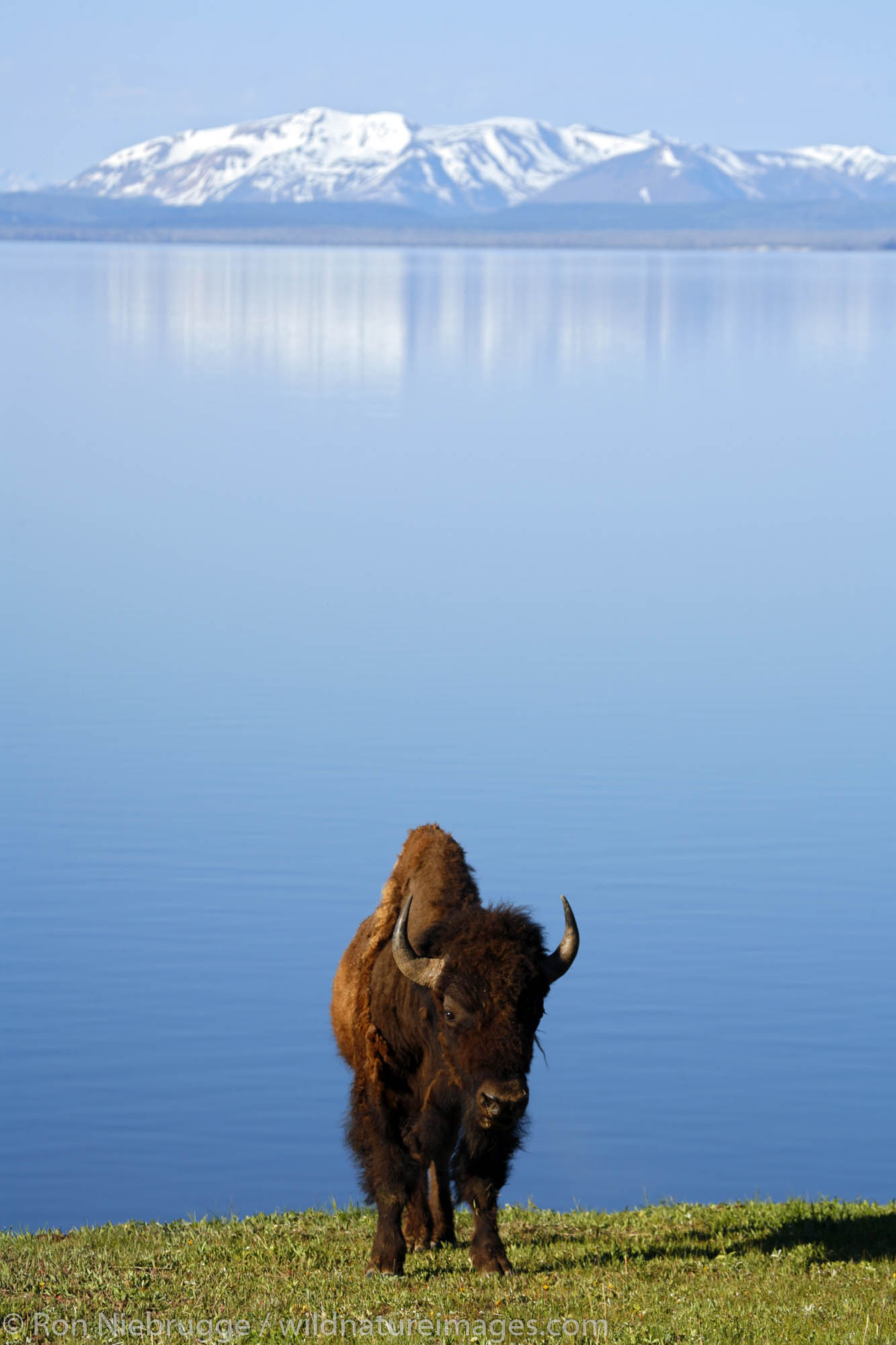 Buffalo ( Bison ) in front of Yellowstone Lake,  Yellowstone National Park, Wyoming.