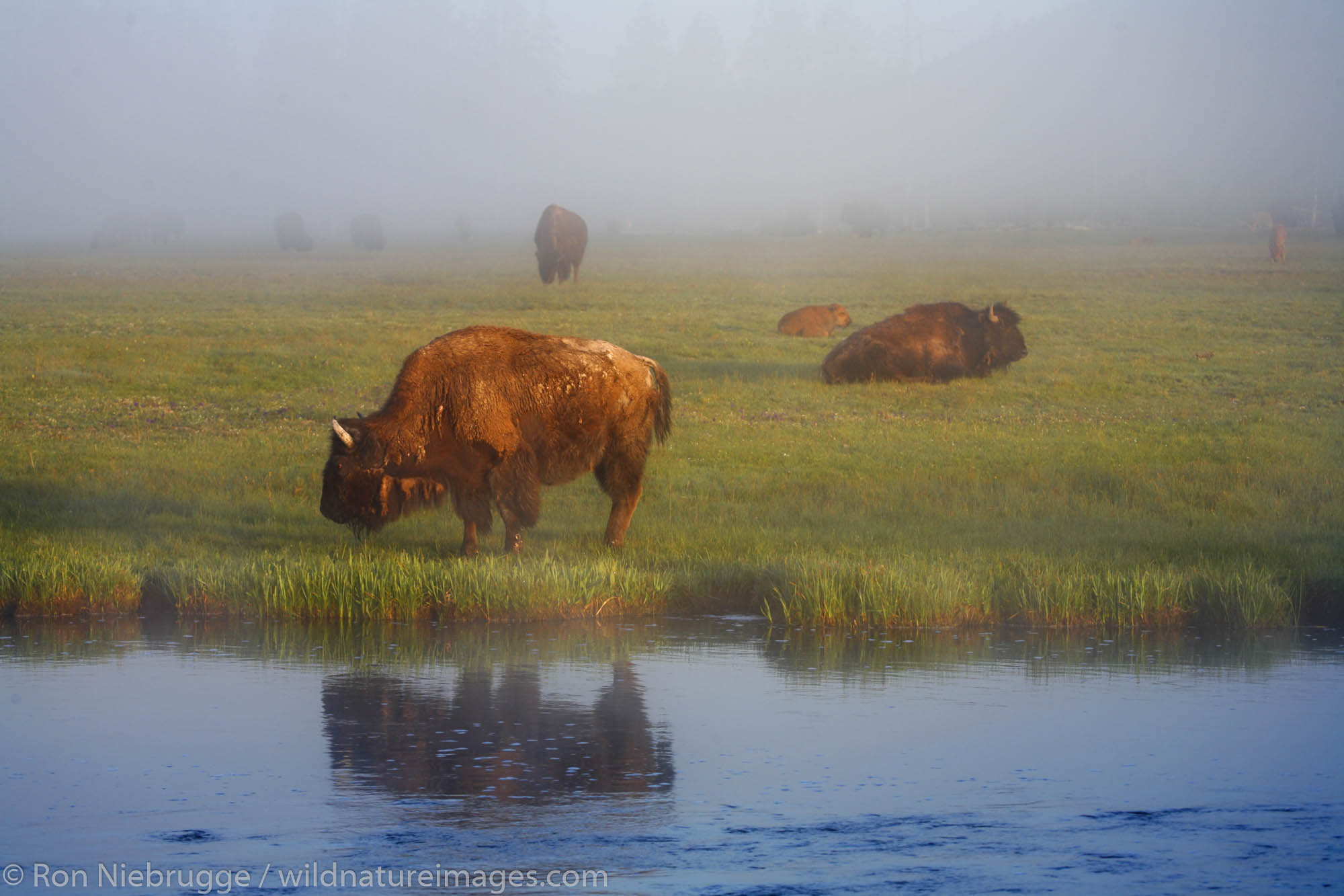 Buffalo ( Bison ) along the Firehole River in Yellowstone National Park, Wyoming.