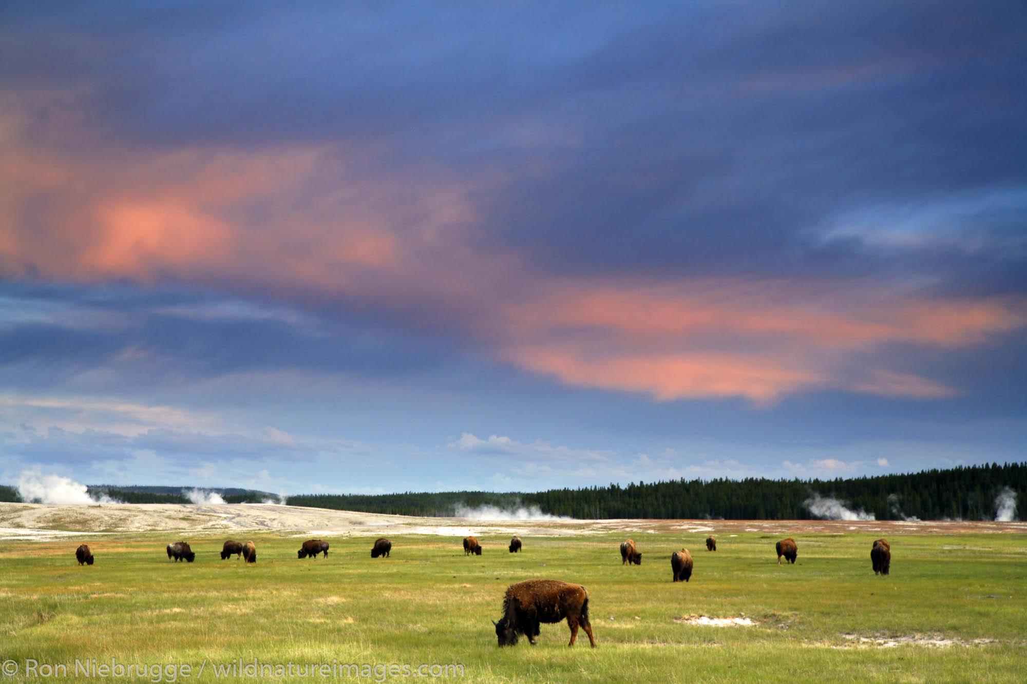 Buffalo at sunset, Midway Geyser Basin, Yellowstone National Park, Wyoming.