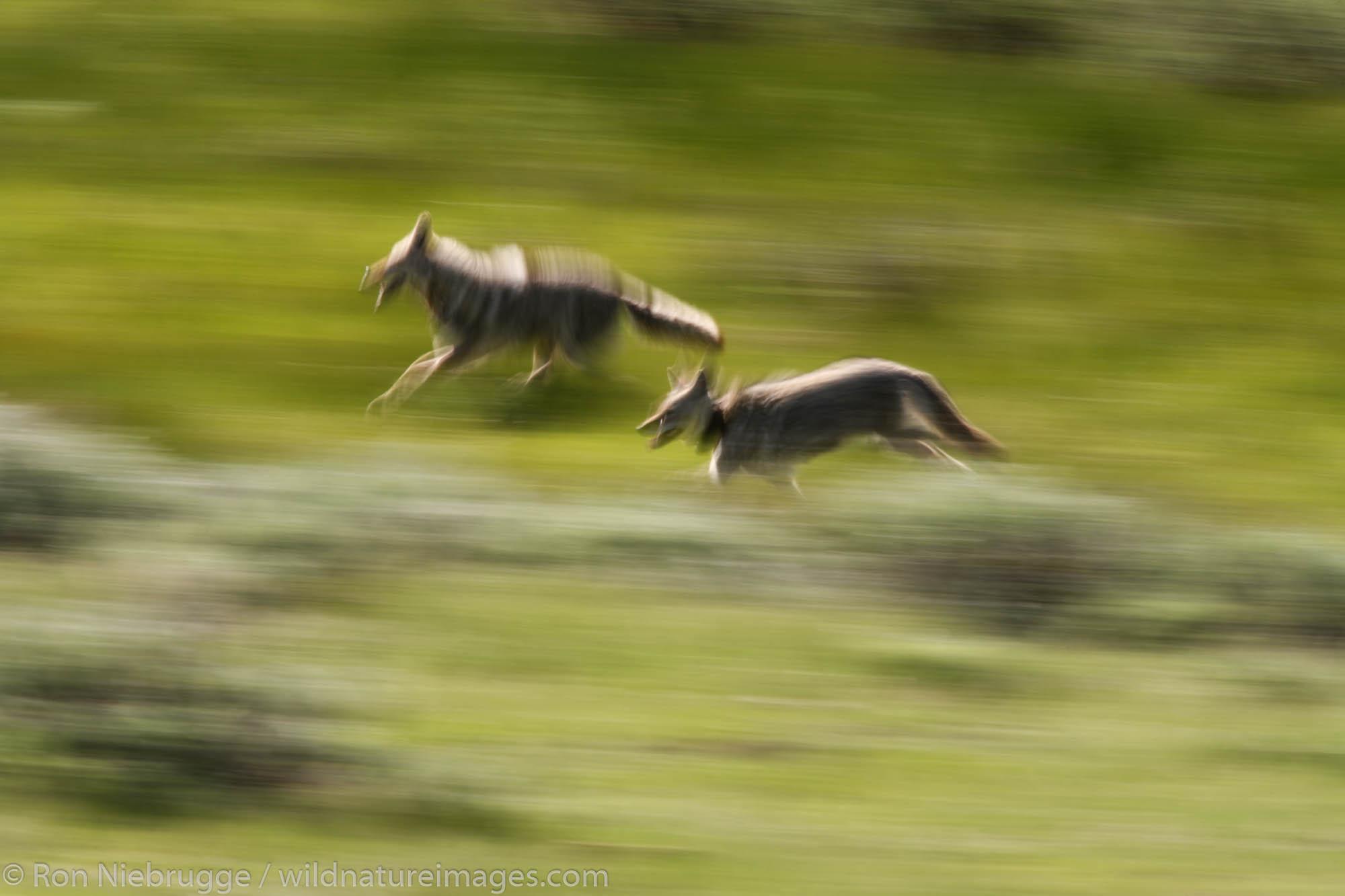 Lamar Valley, Yellowstone National Park, Wyoming., photo
