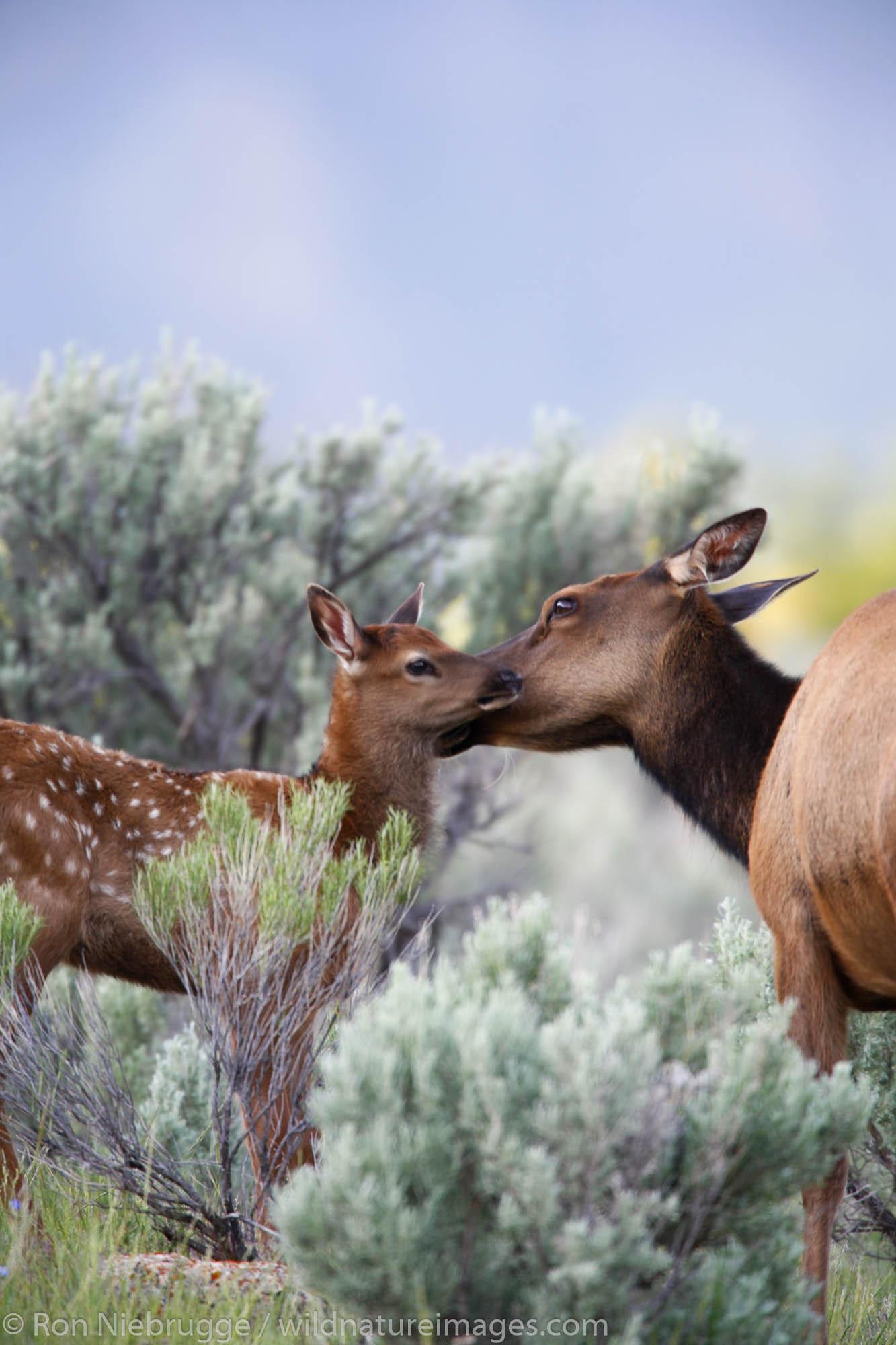 Elk calf in Yellowstone National Park, Wyoming.
