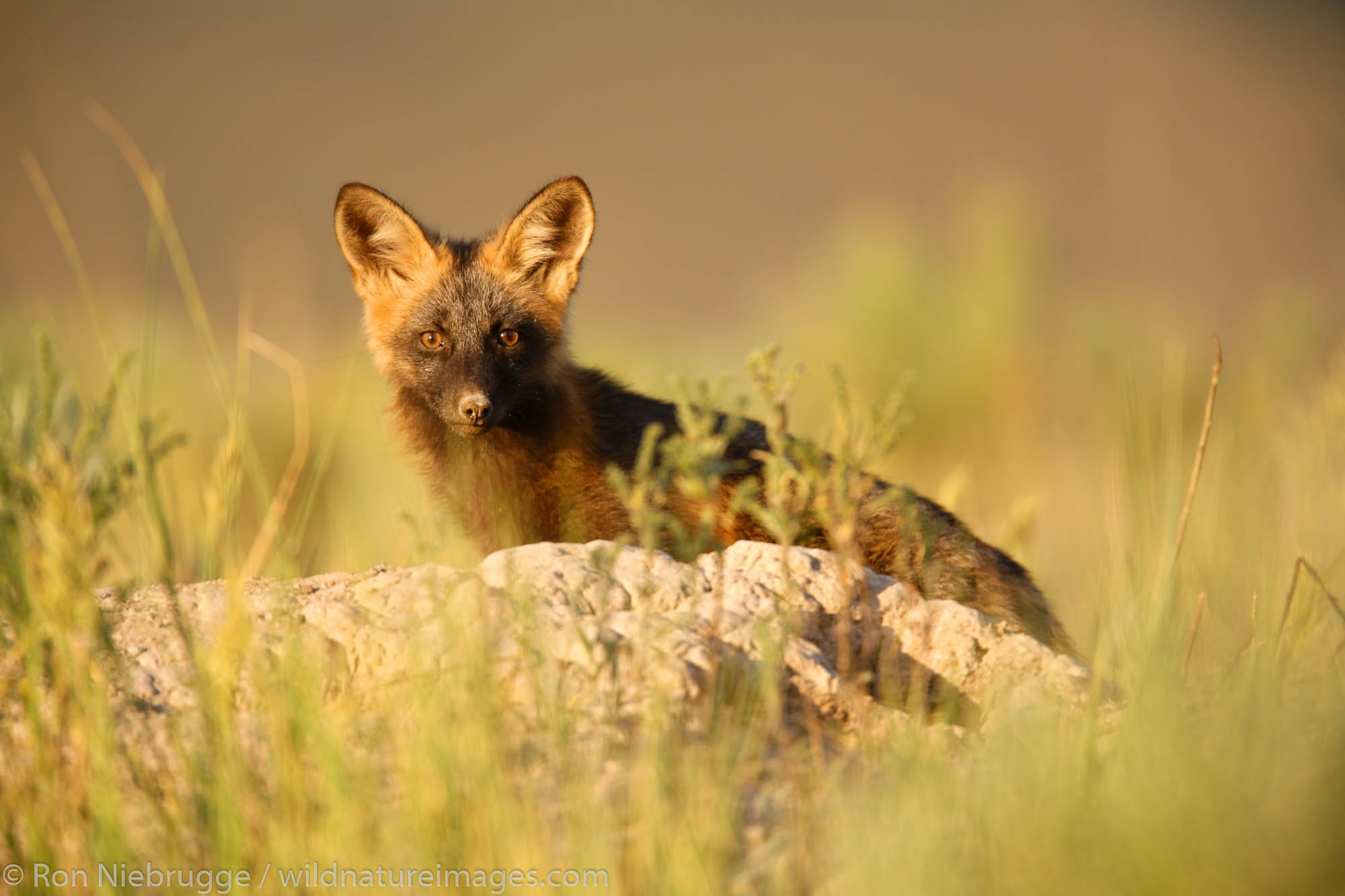 A Red Fox kit at a den near Jackson, Wyoming.